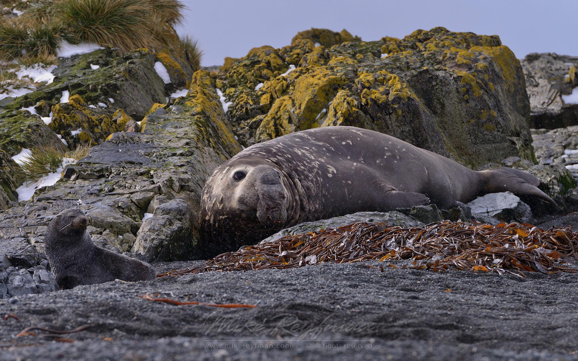 Southern Elephant Seal (Mirounga leonina) and Antarctic Fur Seal (Arctocephalus gazella). Prion Island, South Georgia, Sub-Antarctic - Southern-Elephant-Seals-Fur-Seals-South-Georgia-Sub-Antarctic - Mike Reyfman Photography