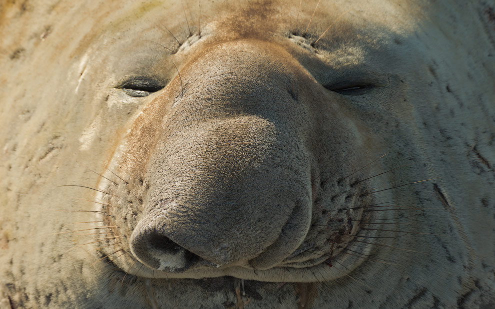 Portrait of Happy Southern Elephant Seal (Mirounga leonina). South Georgia, Sub-Antarctic