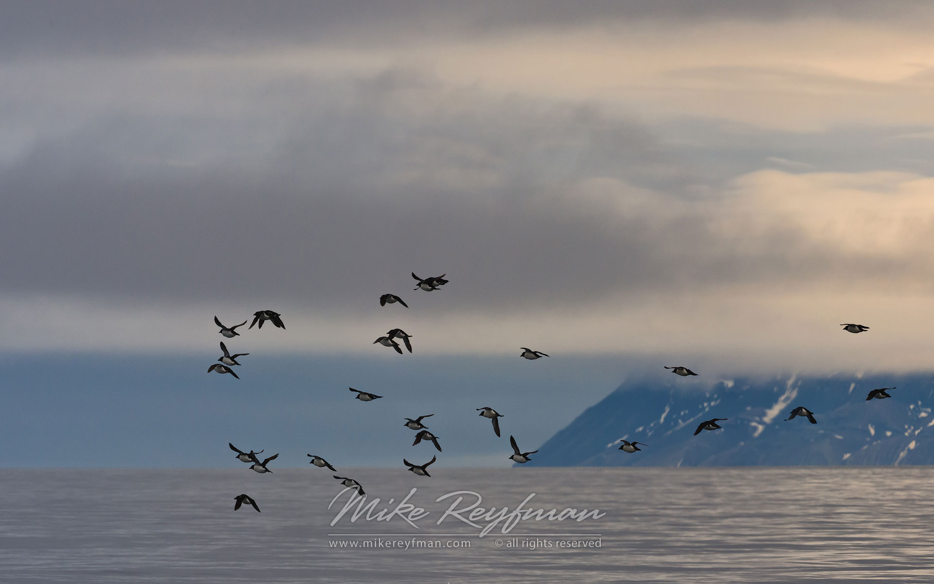 Thick-billed Murres or Brunnich's Guillemots (Uria lomvia). Spitsbergen, Svalbard, Norway. - Wildlife-Svalbard-Spitsbergen-Norway - Mike Reyfman Photography