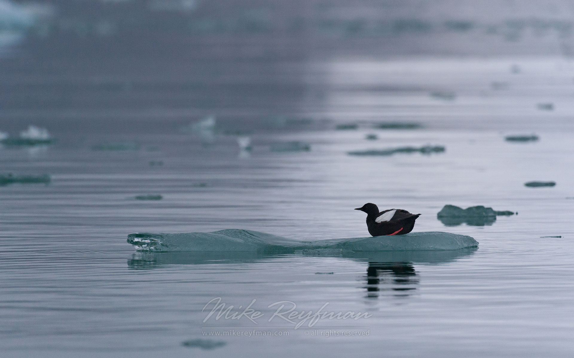 Black Guillemot or Tystie (Cepphus grylle). Spitsbergen, Svalbard, Norway. - Wildlife-Svalbard-Spitsbergen-Norway - Mike Reyfman Photography