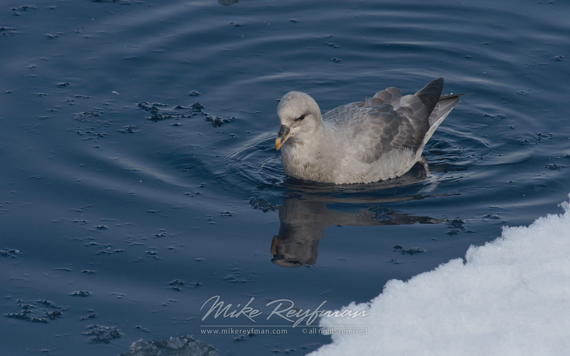 Northern Fulmar (Fulmarus glacialis). Spitsbergen, Svalbard, Norway. - Wildlife-Svalbard-Spitsbergen-Norway - Mike Reyfman Photography