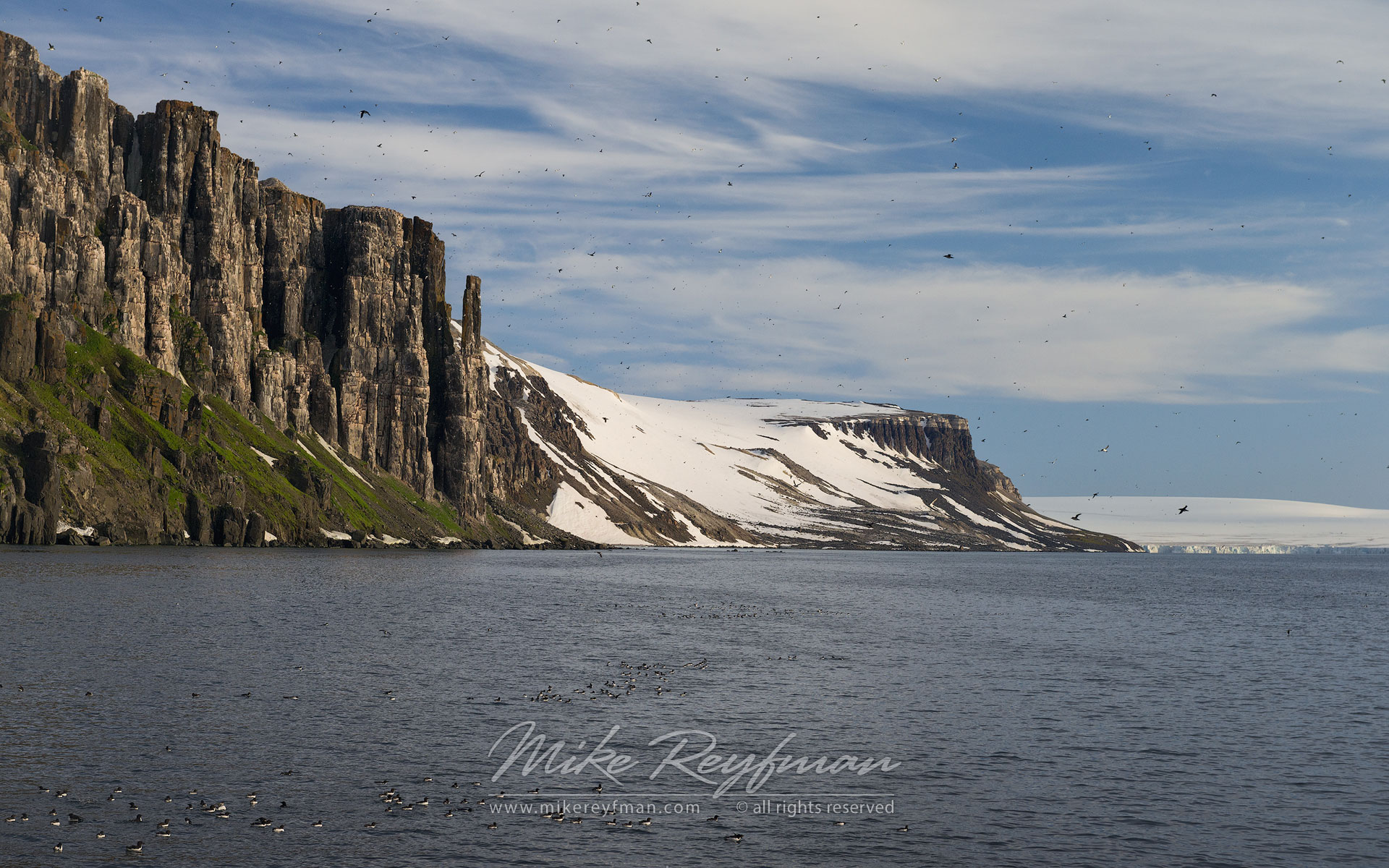 Thick-billed Murres or Brunnich's Guillemots (Uria lomvia). Bird cliff Alkefjellet, Spitsbergen, Svalbard, Norway. - Wildlife-Svalbard-Spitsbergen-Norway - Mike Reyfman Photography