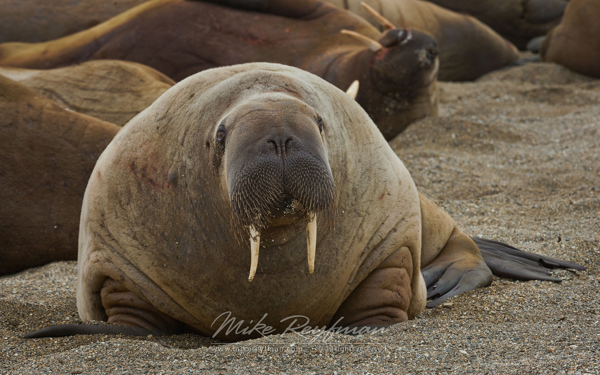 Curious Walrus (Odobenus rosmarus) pops up to say hello at Torrelnesset, Svalbard (Spitsbergen) Archipelago, Norway. - Wildlife-Svalbard-Spitsbergen-Norway - Mike Reyfman Photography