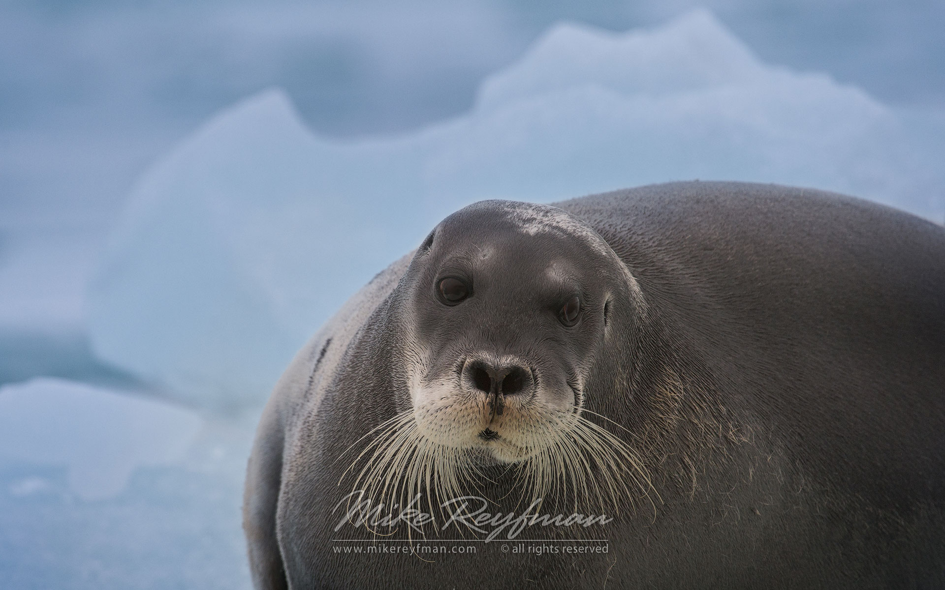 Bearded Seal (Erignathus barbatus) on an ice floe. Svalbard (Spitsbergen) Archipelago, Norway. - Wildlife-Svalbard-Spitsbergen-Norway - Mike Reyfman Photography