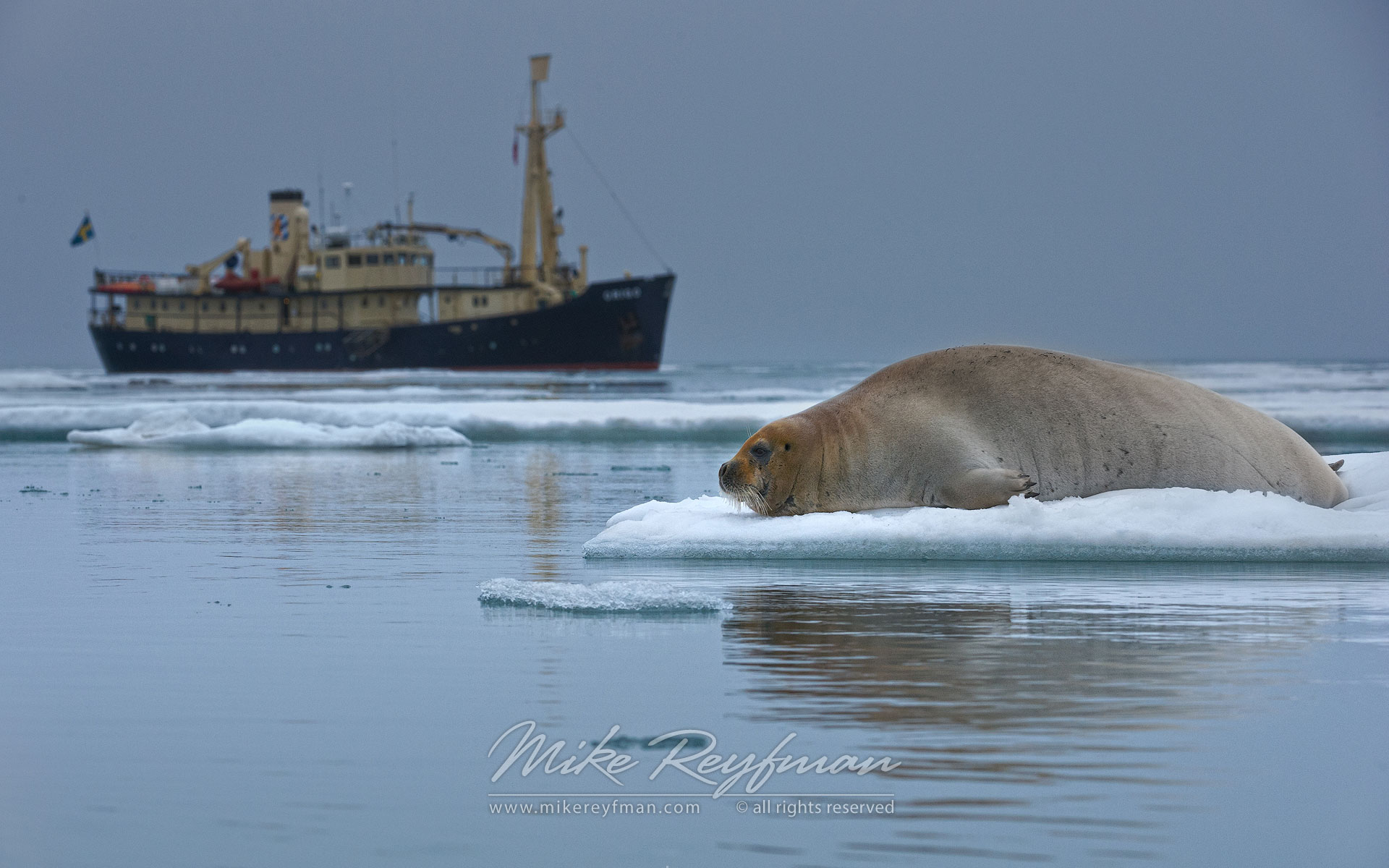 Bearded Seal (Erignathus barbatus) on the melting ice along Spitsbergen coast with M/S Origo on the background. Svalbard, Norway. - Wildlife-Svalbard-Spitsbergen-Norway - Mike Reyfman Photography