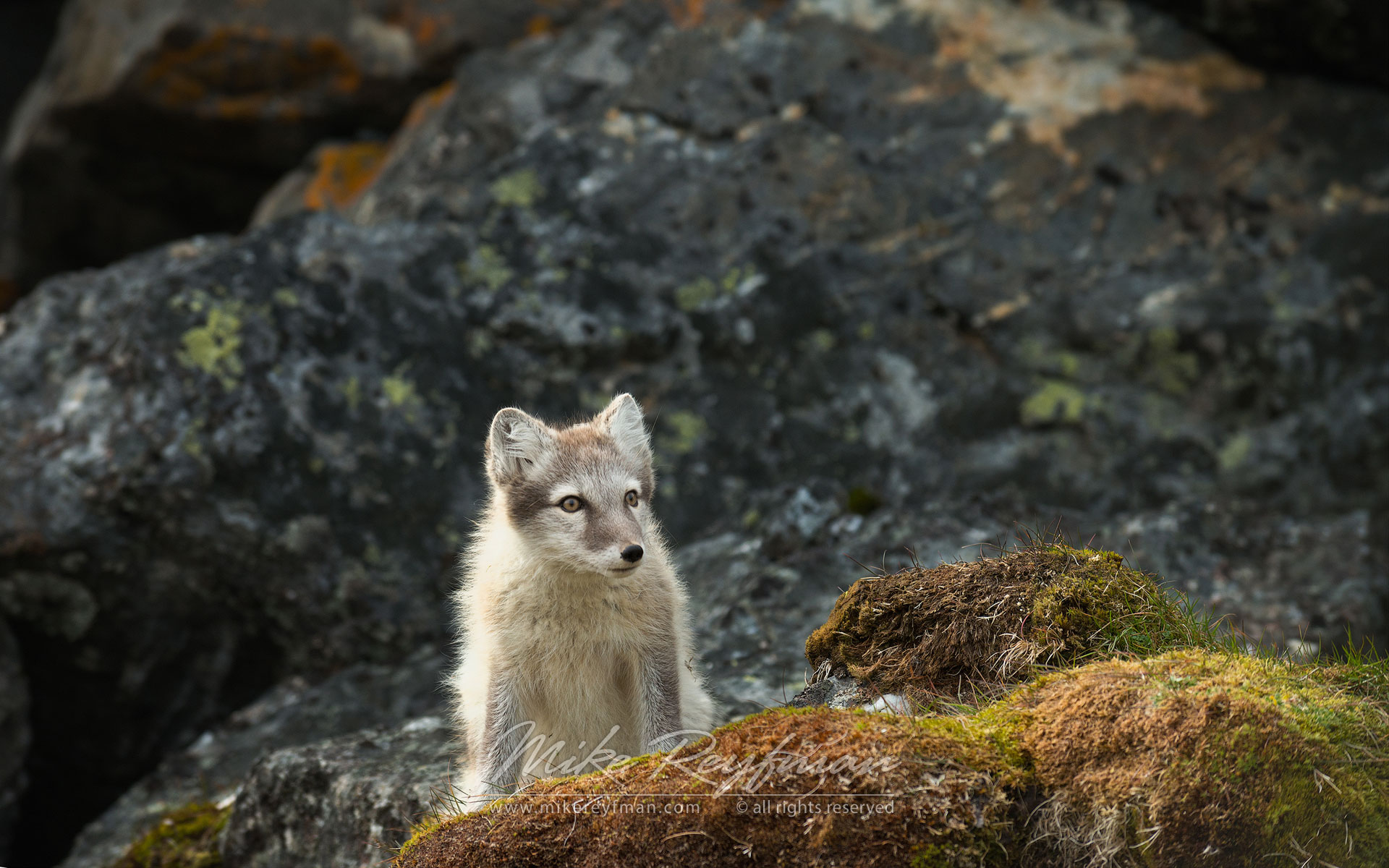 Arctic fox puppy (Alopex lagopus) on a rock, Alkehornet, Spitsbergen, Svalbard, Norway. - Wildlife-Svalbard-Spitsbergen-Norway - Mike Reyfman Photography