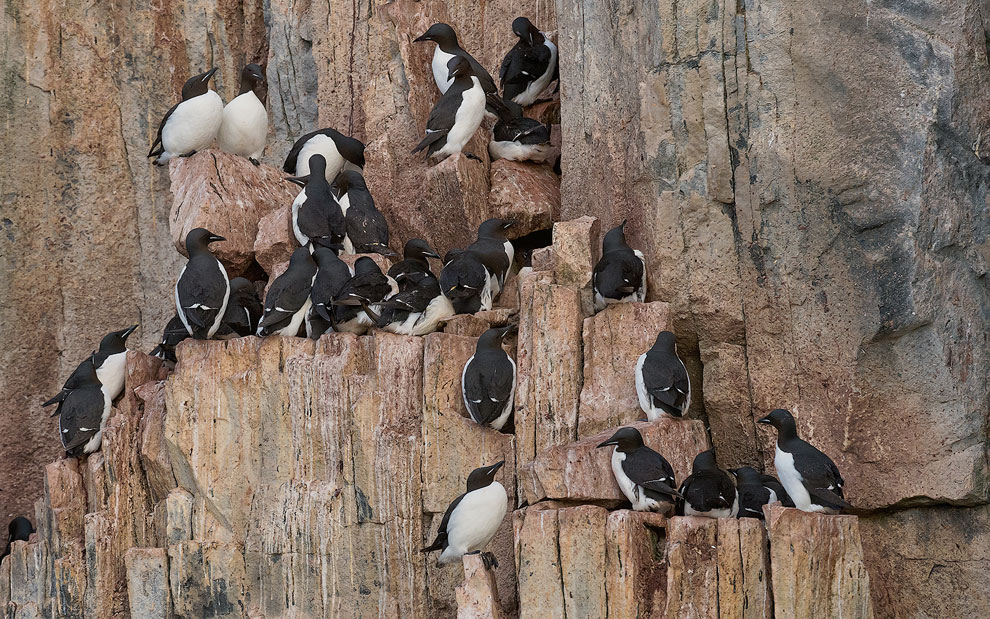 Thick-billed Murres or Brunnich's Guillemots (Uria lomvia). Bird cliff Alkefjellet, Spitsbergen, Svalbard, Norway.