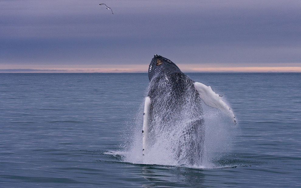 Humback Whale (Megaptera novaeangeliae) breaching (jumping out of the water) near Spitsbergen, Svalbard.