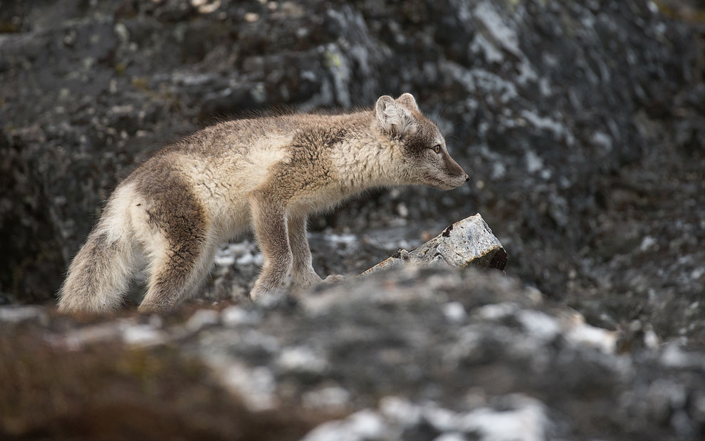 Arctic fox puppy (Alopex lagopus) on a rock, Alkehornet, Spitsbergen, Svalbard, Norway.