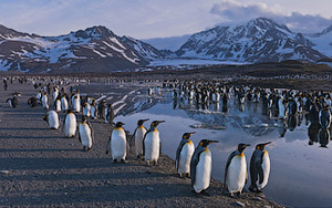 Terra Penguinia. King and Gentoo Penguins. South Georgia, Sub-Antarctic.  - Landscape, Nature and Cityscape Photography - Mike Reyfman Photography - Fine Art Prints, Stock Images, Nature Abstracts