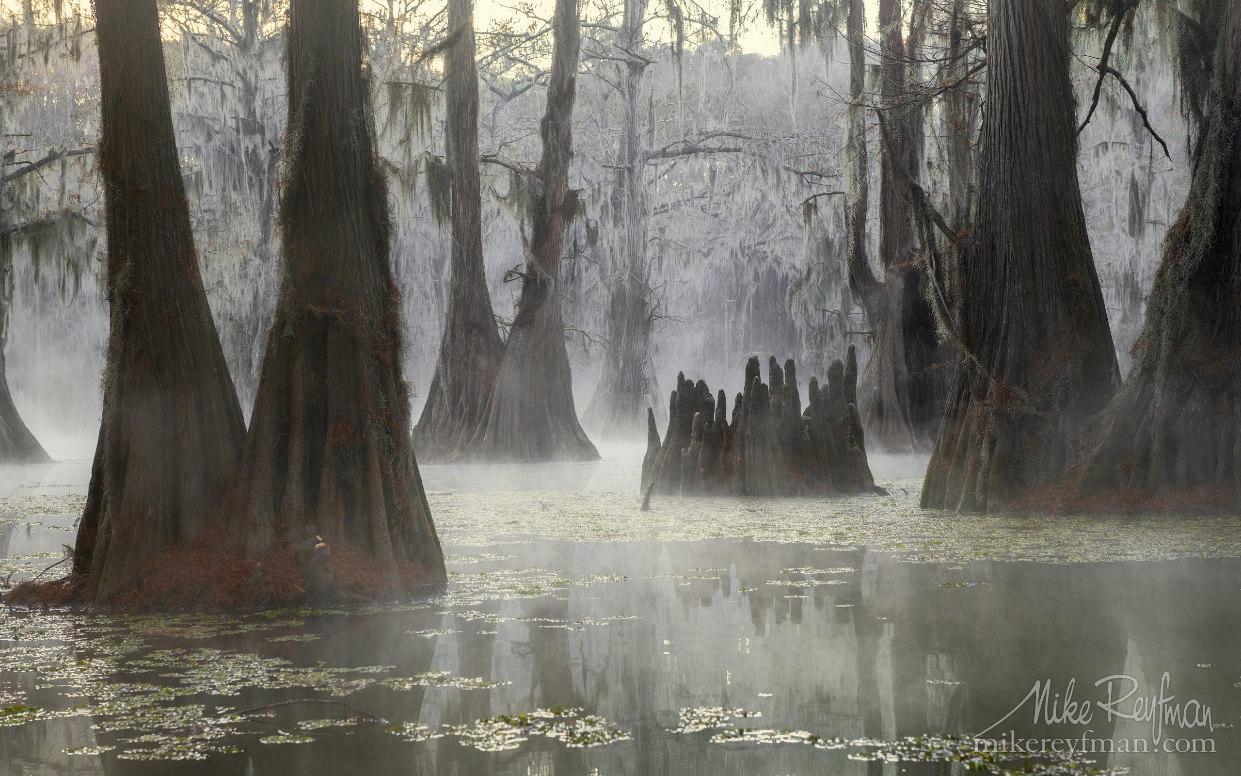 Swamp King's Crown. Bald Cypress trees in the swamp. Foggy morning on Caddo Lake, Texas, US 001-LT1-50A3303.jpg - Bold Cypress and Tupelo Trees in the swamps of Atchafalaya River Basin. Caddo, Martin and Fousse Lakes. Texas/Louisiana, USA. - Mike Reyfman Photography