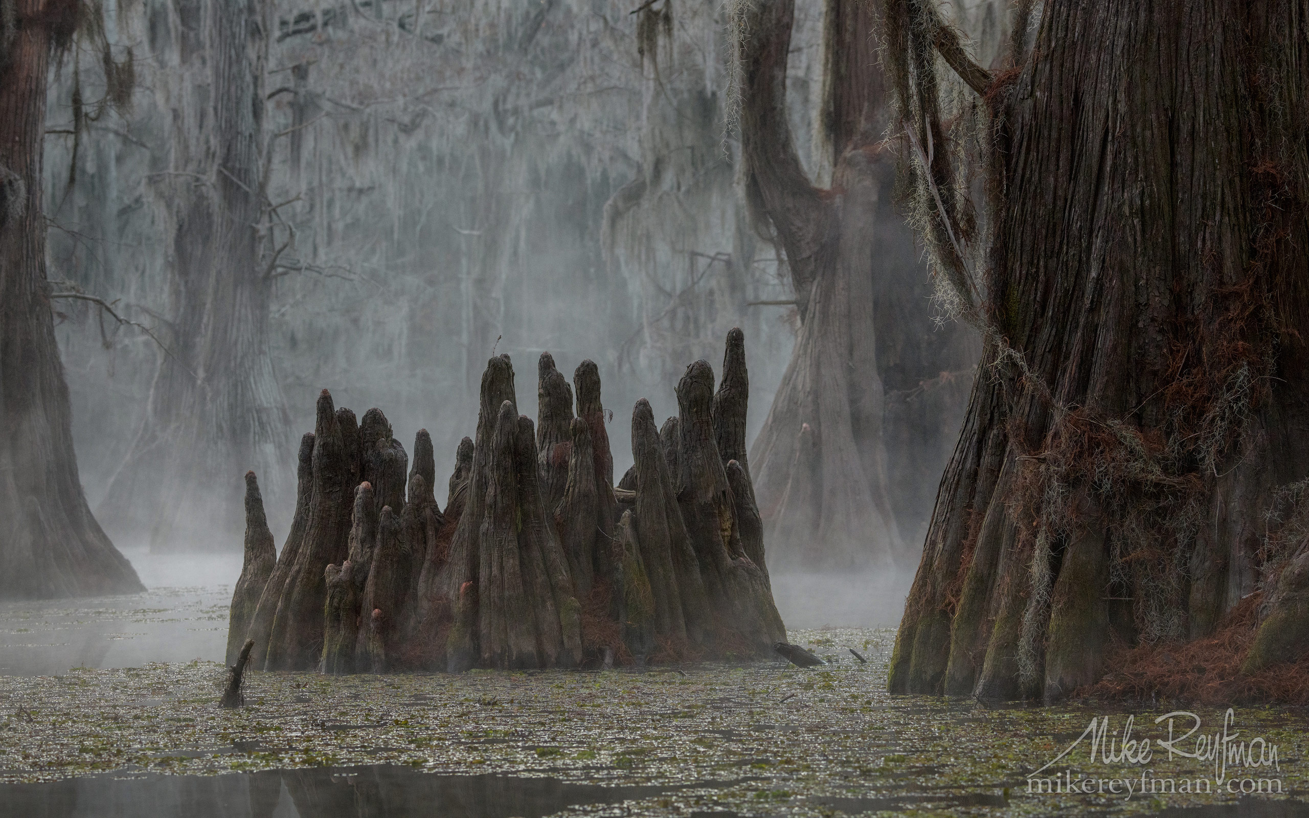 Swamp King's Crown. Bald Cypress trees in the swamp. Foggy morning on Caddo Lake, Texas, US 002-LT1-50A3299.jpg - Bold Cypress and Tupelo Trees in the swamps of Atchafalaya River Basin. Caddo, Martin and Fousse Lakes. Texas/Louisiana, USA. - Mike Reyfman Photography