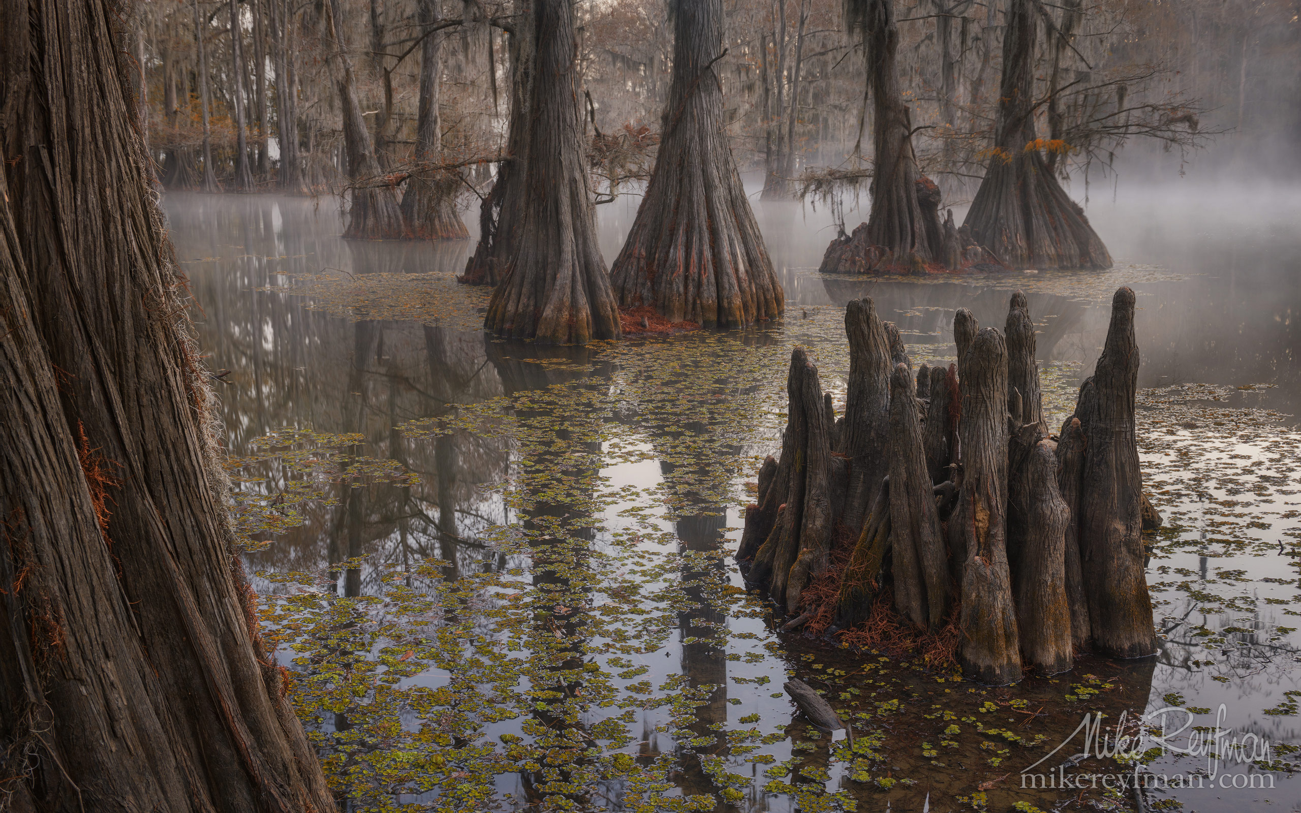 Swamp King's Crown. Bald Cypress trees in the swamp. Foggy morning on Caddo Lake, Texas, US 003-LT1-50A3239.jpg - Bold Cypress and Tupelo Trees in the swamps of Atchafalaya River Basin. Caddo, Martin and Fousse Lakes. Texas/Louisiana, USA. - Mike Reyfman Photography