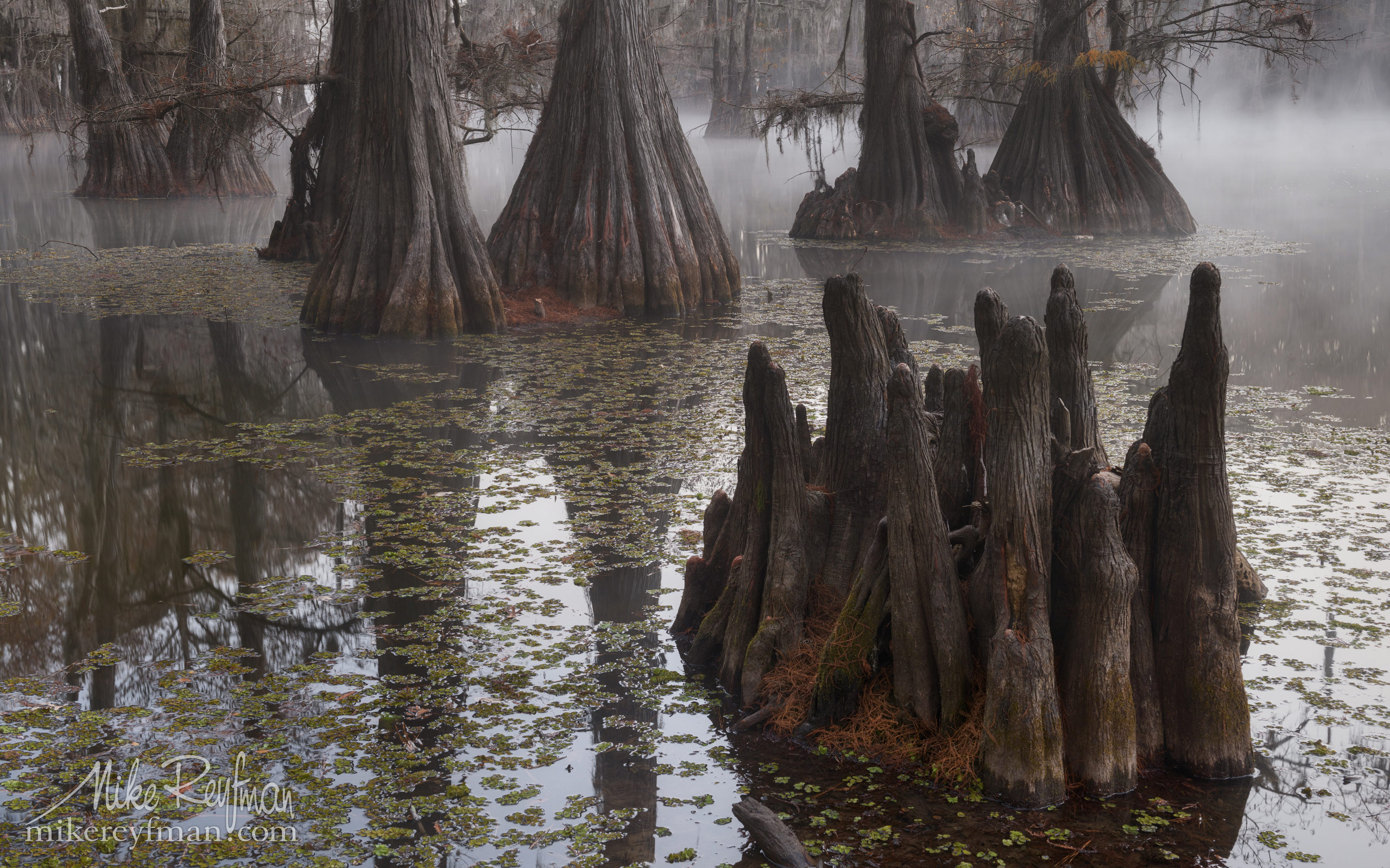 Swamp King's Crown. Bald Cypress trees in the swamp. Foggy morning on Caddo Lake, Texas, US 005_LT1_50A3238.jpg - Bold Cypress and Tupelo Trees in the swamps of Atchafalaya River Basin. Caddo, Martin and Fousse Lakes. Texas/Louisiana, USA. - Mike Reyfman Photography