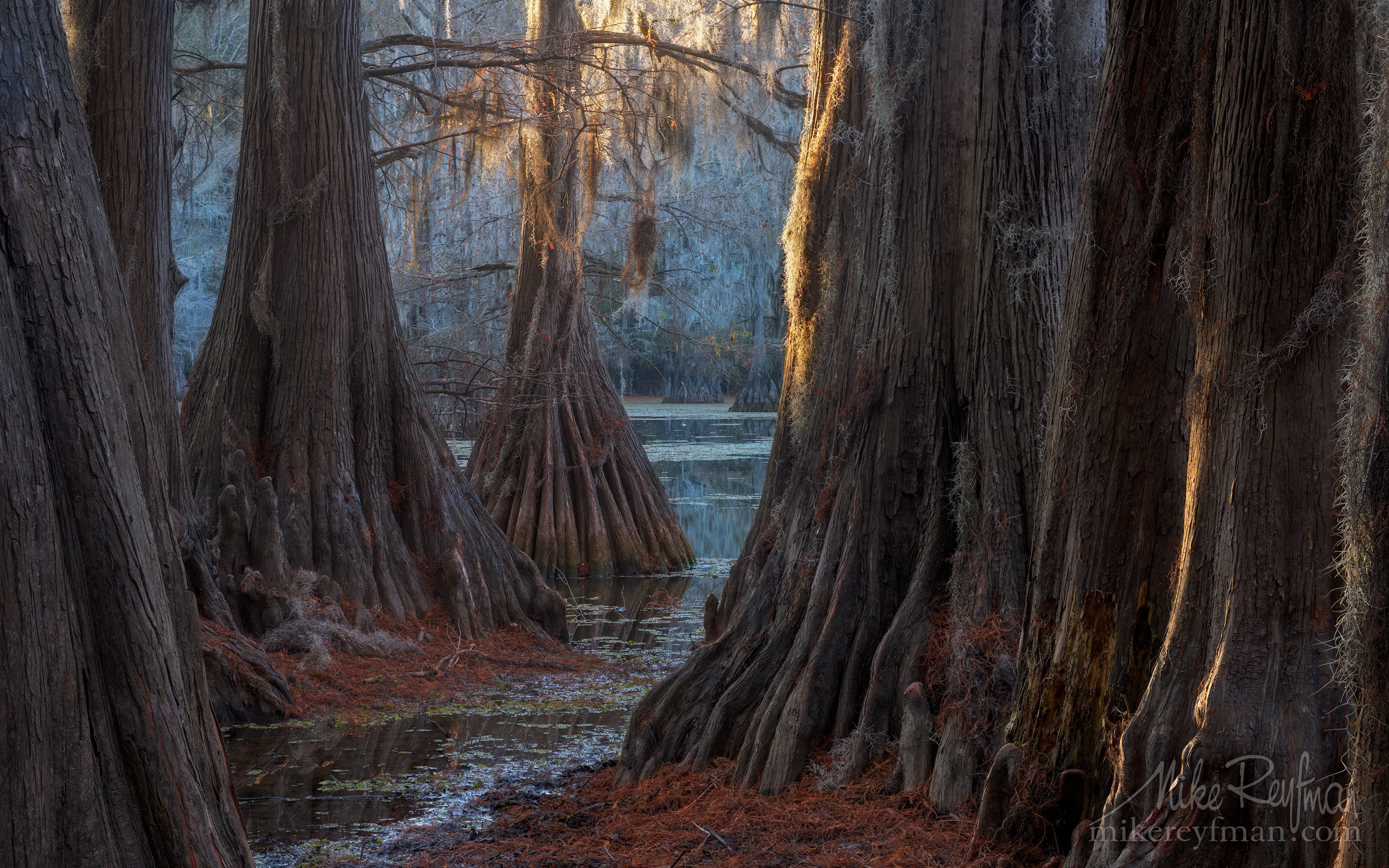 Bald Cypress trees in the swamp. Caddo Lake, Texas, US 006_LT1_50A2791.jpg - Bold Cypress and Tupelo Trees in the swamps of Atchafalaya River Basin. Caddo, Martin and Fousse Lakes. Texas/Louisiana, USA. - Mike Reyfman Photography