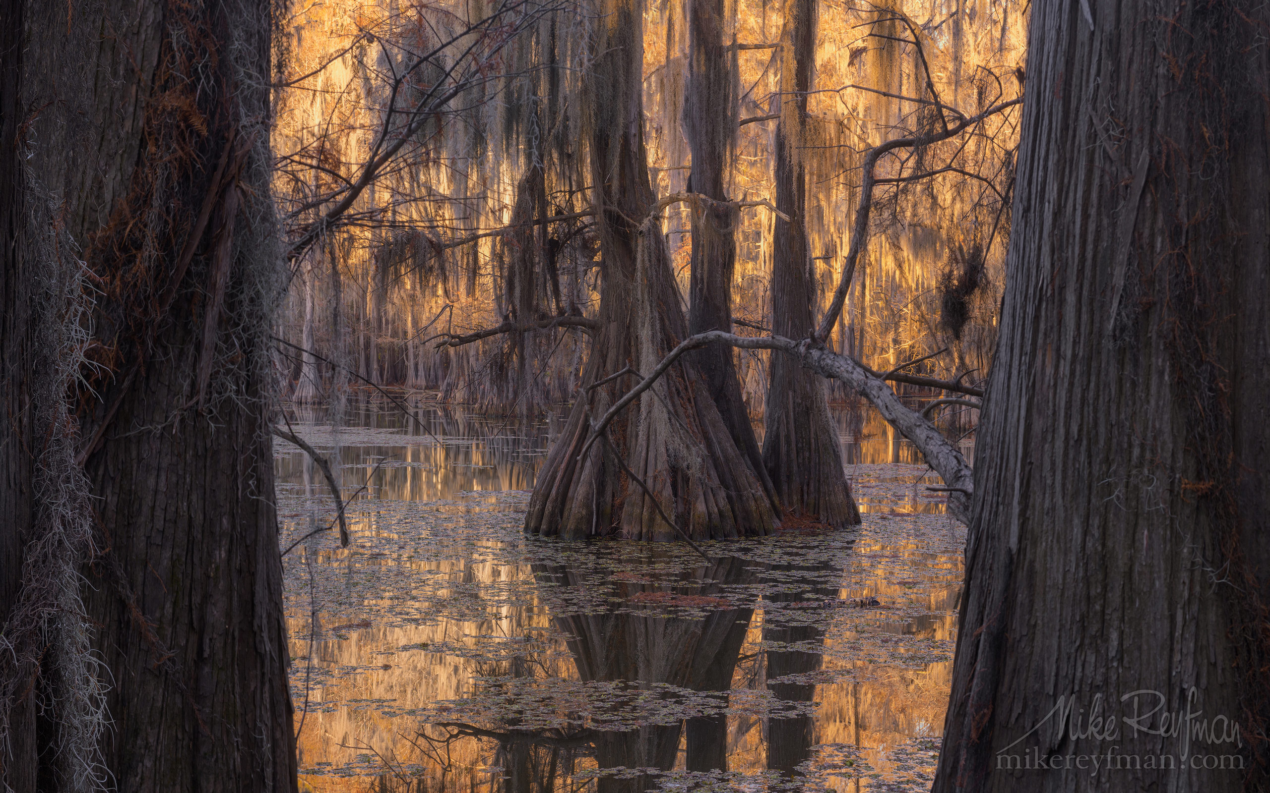 Bald Cypress trees in the swamp. Caddo Lake, Texas, US 007_LT1_50A2777.jpg - Bold Cypress and Tupelo Trees in the swamps of Atchafalaya River Basin. Caddo, Martin and Fousse Lakes. Texas/Louisiana, USA. - Mike Reyfman Photography
