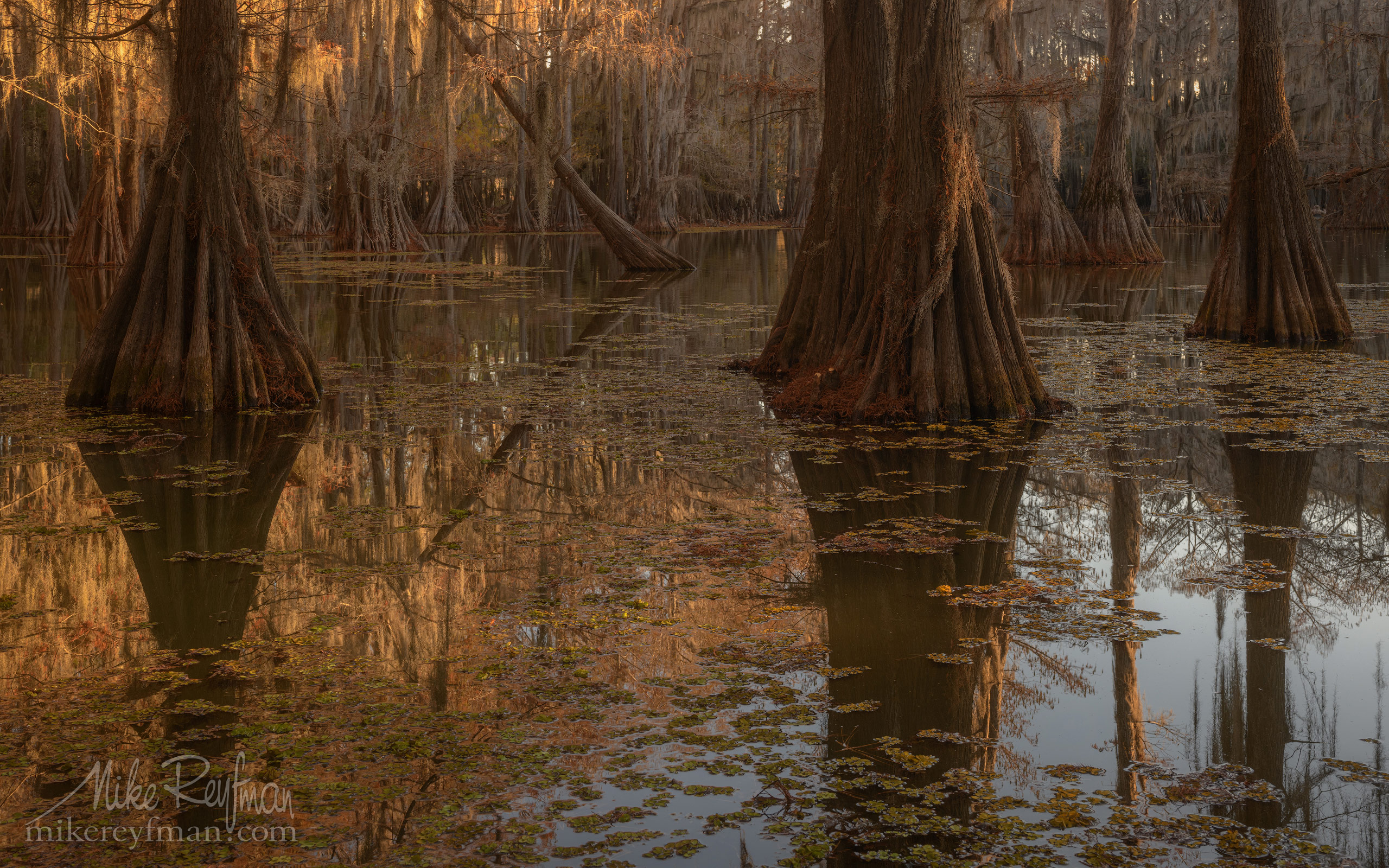 Bald Cypress trees in the swamp. Caddo Lake, Texas, US 009-LT1-50A2800.jpg - Bold Cypress and Tupelo Trees in the swamps of Atchafalaya River Basin. Caddo, Martin and Fousse Lakes. Texas/Louisiana, USA. - Mike Reyfman Photography