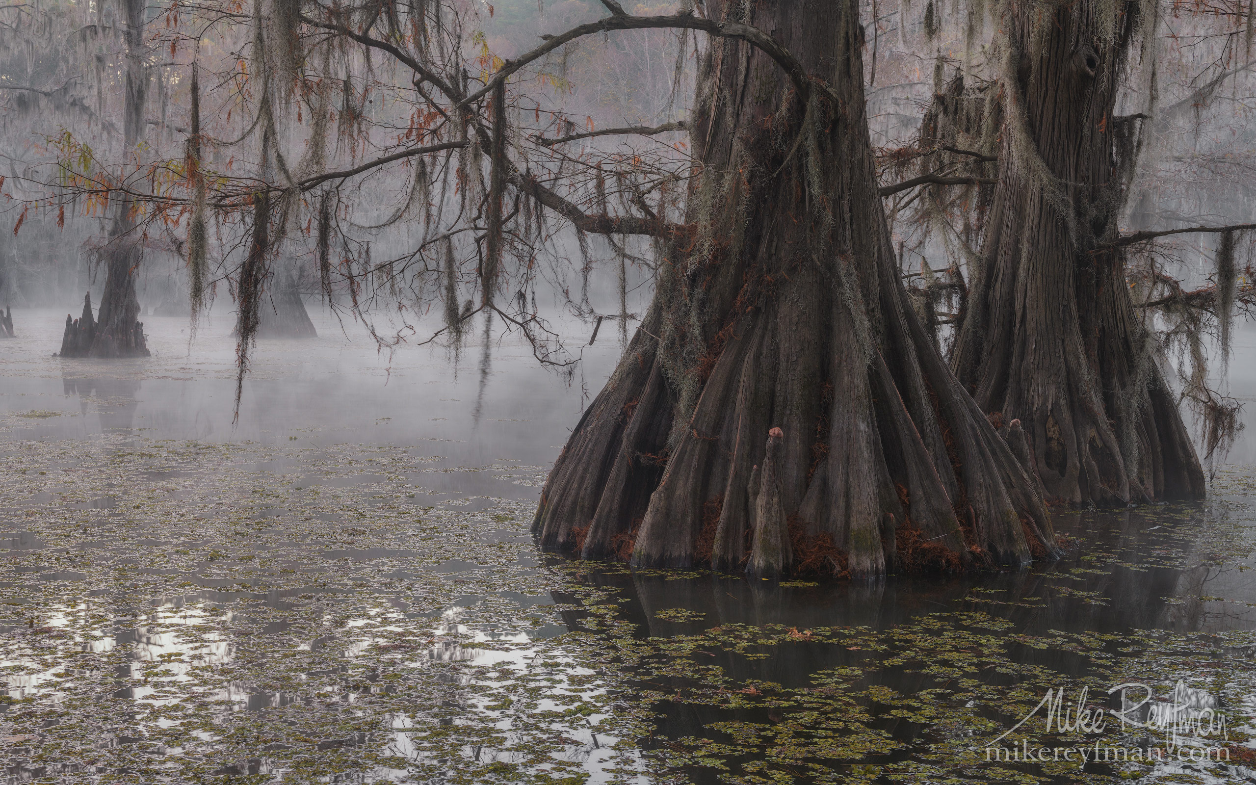 Bald Cypress trees in the swamp. Foggy morning on Caddo Lake, Texas, US 010-LT1-50A3263.jpg - Bold Cypress and Tupelo Trees in the swamps of Atchafalaya River Basin. Caddo, Martin and Fousse Lakes. Texas/Louisiana, USA. - Mike Reyfman Photography