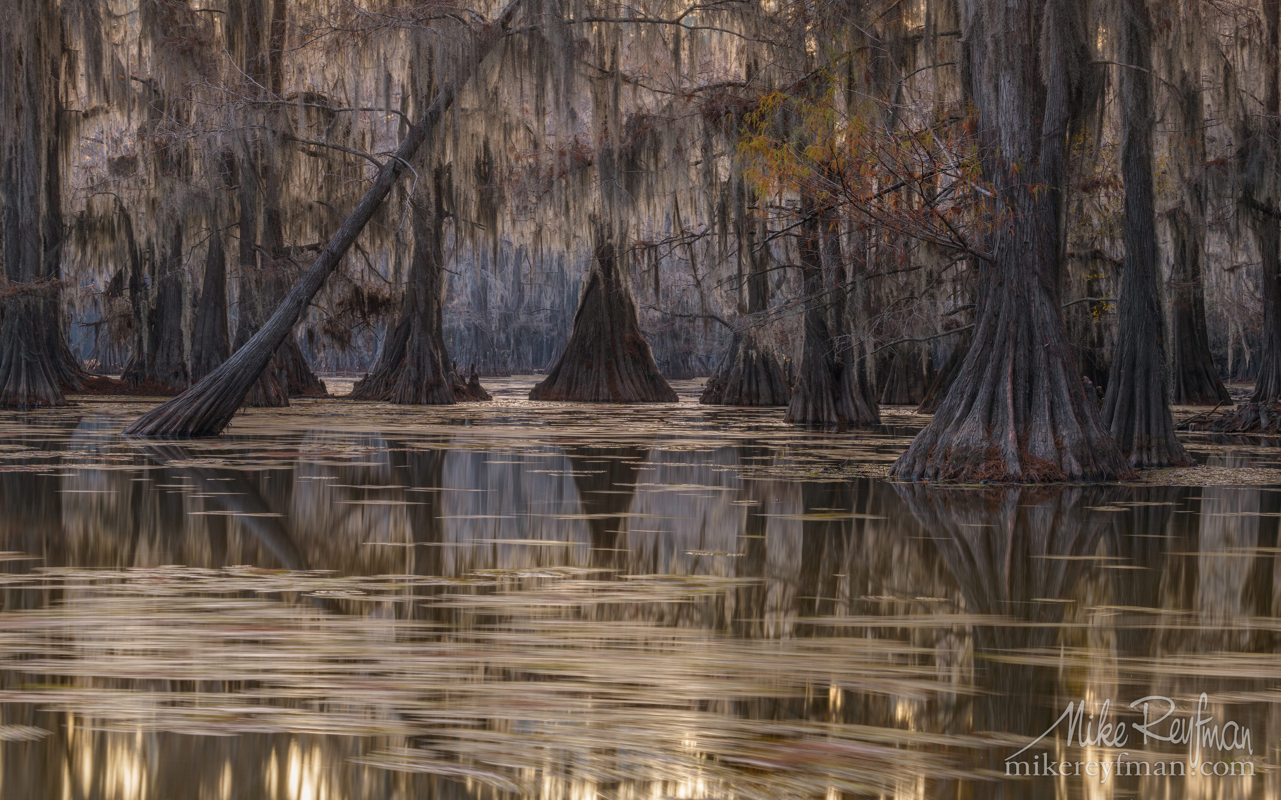 Bald Cypress trees in the swamp. Caddo Lake, Texas, US 011-LT1-50A3182.jpg - Bold Cypress and Tupelo Trees in the swamps of Atchafalaya River Basin. Caddo, Martin and Fousse Lakes. Texas/Louisiana, USA. - Mike Reyfman Photography