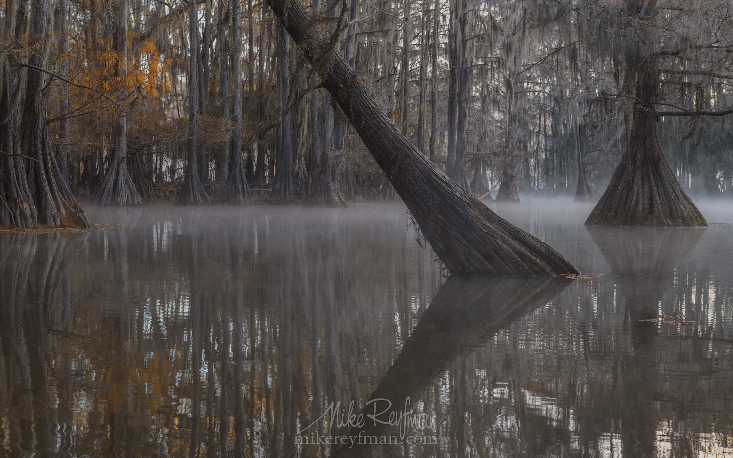 Bald Cypress trees in the swamp. Foggy morning on Caddo Lake, Texas, US 013-LT1-50A3321.jpg - Bold Cypress and Tupelo Trees in the swamps of Atchafalaya River Basin. Caddo, Martin and Fousse Lakes. Texas/Louisiana, USA. - Mike Reyfman Photography