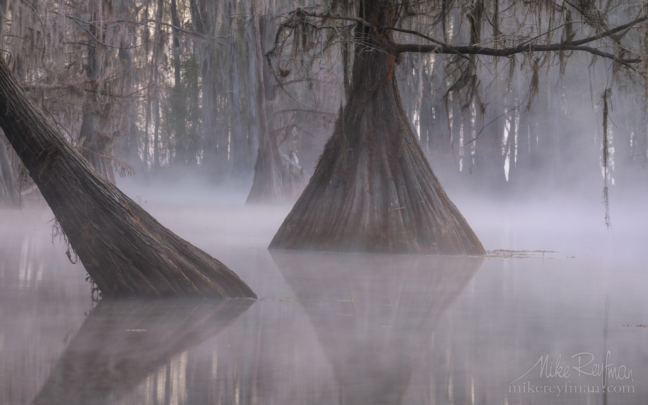 Bald Cypress trees in the swamp. Foggy morning on Caddo Lake, Texas, US 015-LT1-50A3282.jpg - Bold Cypress and Tupelo Trees in the swamps of Atchafalaya River Basin. Caddo, Martin and Fousse Lakes. Texas/Louisiana, USA. - Mike Reyfman Photography