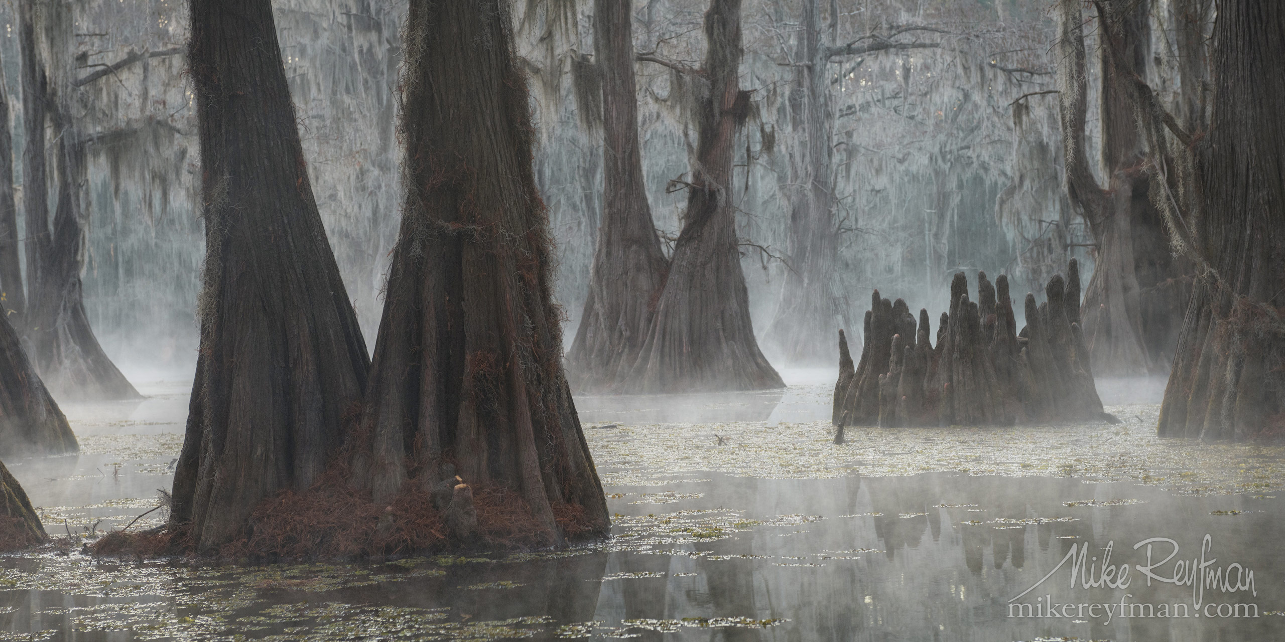 Swamp King's Crown. Bald Cypress trees in the swamp. Foggy morning on Caddo Lake, Texas, US 018-LT1-50A3310_Pano-2x1.jpg - Bold Cypress and Tupelo Trees in the swamps of Atchafalaya River Basin. Caddo, Martin and Fousse Lakes. Texas/Louisiana, USA. - Mike Reyfman Photography