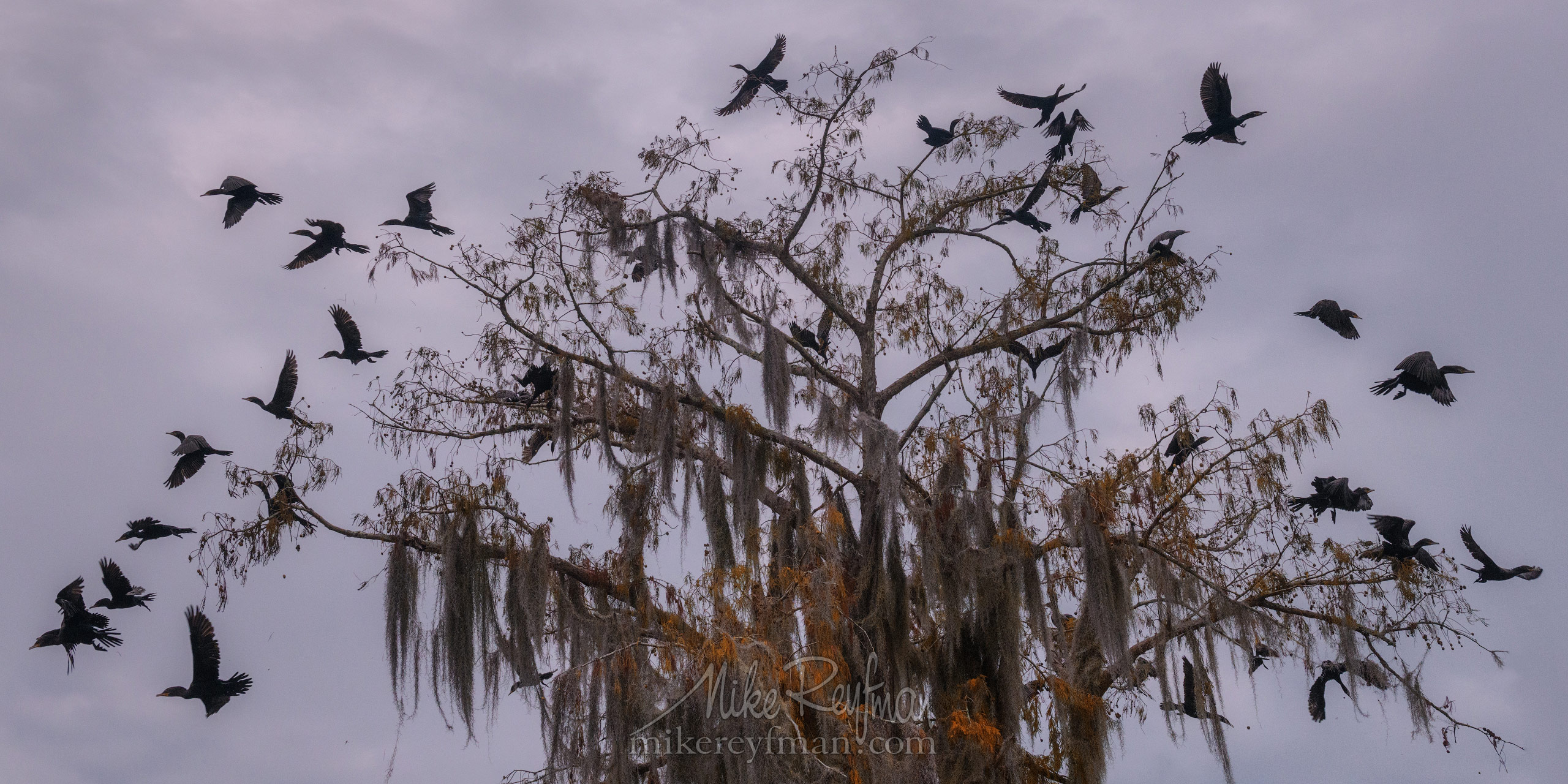 The Exploding Tree. A flock of Double-crested Cormorants taking off from a Bald Cypress tree. Lake Martin, Louisiana, US 019-LT1-50A2684_Pano-2x1.jpg - Bold Cypress and Tupelo Trees in the swamps of Atchafalaya River Basin. Caddo, Martin and Fousse Lakes. Texas/Louisiana, USA. - Mike Reyfman Photography