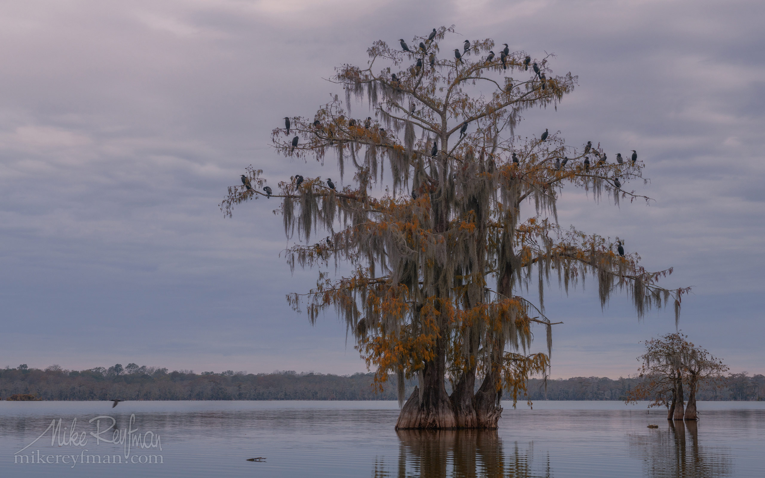 A flock of Double-crested Cormorants on the Bald Cypress tree. Lake Martin, Louisiana, US 020-LT1-50A2667.jpg - Bold Cypress and Tupelo Trees in the swamps of Atchafalaya River Basin. Caddo, Martin and Fousse Lakes. Texas/Louisiana, USA. - Mike Reyfman Photography