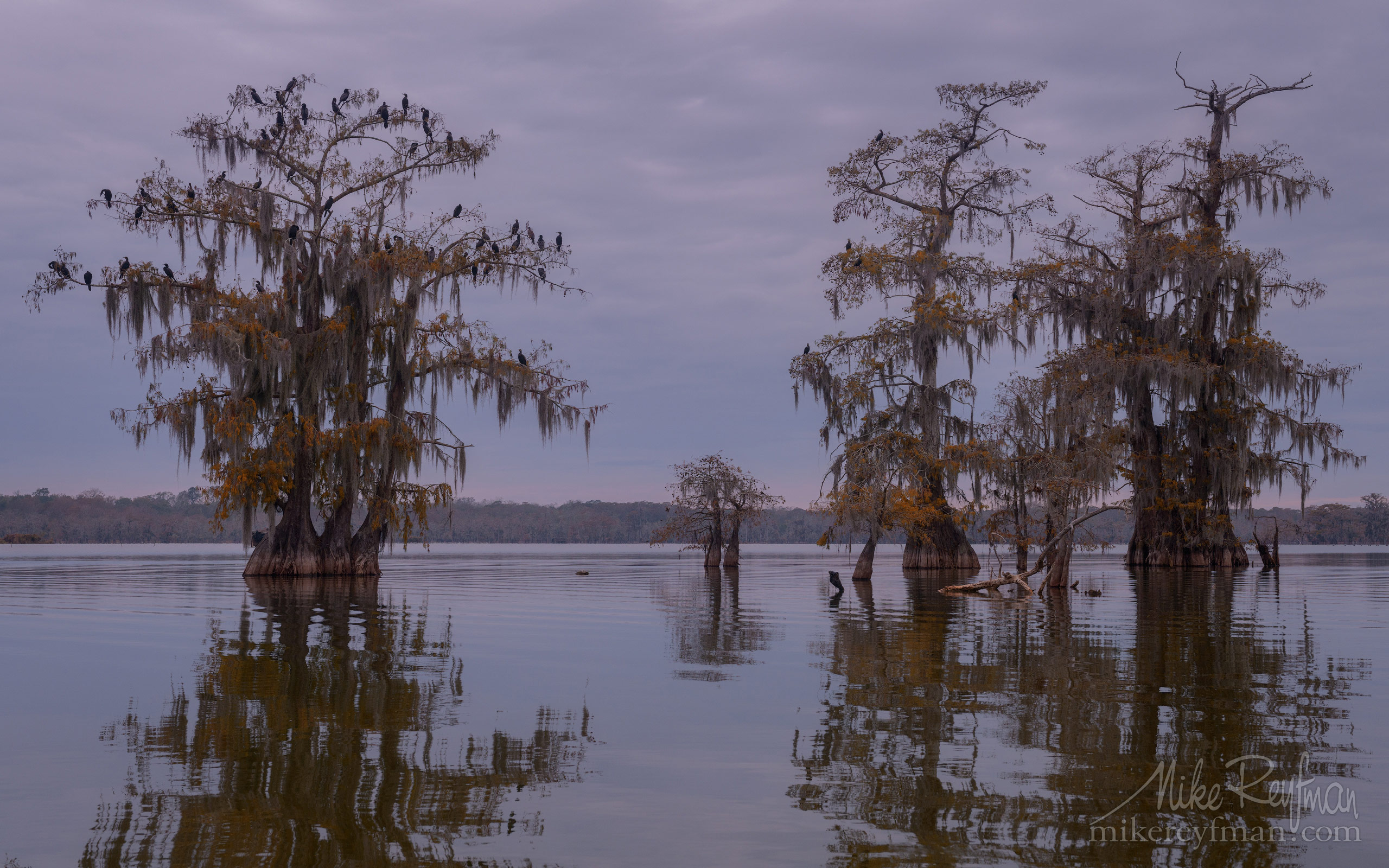 A flock of Double-crested Cormorants on the Bald Cypress tree. Lake Martin, Louisiana, US 021-LT1-50A2647.jpg - Bold Cypress and Tupelo Trees in the swamps of Atchafalaya River Basin. Caddo, Martin and Fousse Lakes. Texas/Louisiana, USA. - Mike Reyfman Photography