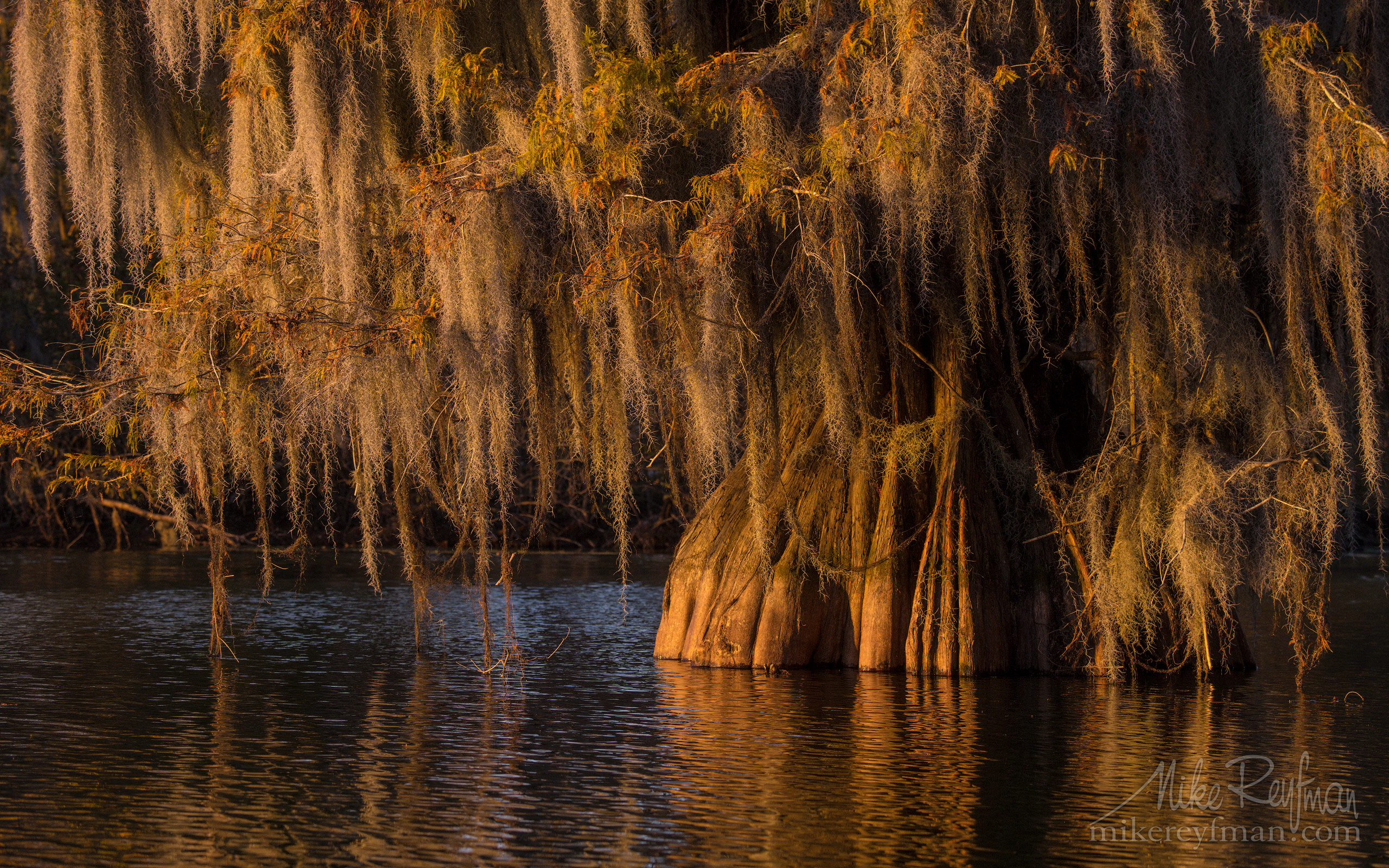 Spanish Moss on the Bald Cypress trees. Lake Martin, Louisiana, US 024-LT1-50A4140.jpg - Bold Cypress and Tupelo Trees in the swamps of Atchafalaya River Basin. Caddo, Martin and Fousse Lakes. Texas/Louisiana, USA. - Mike Reyfman Photography