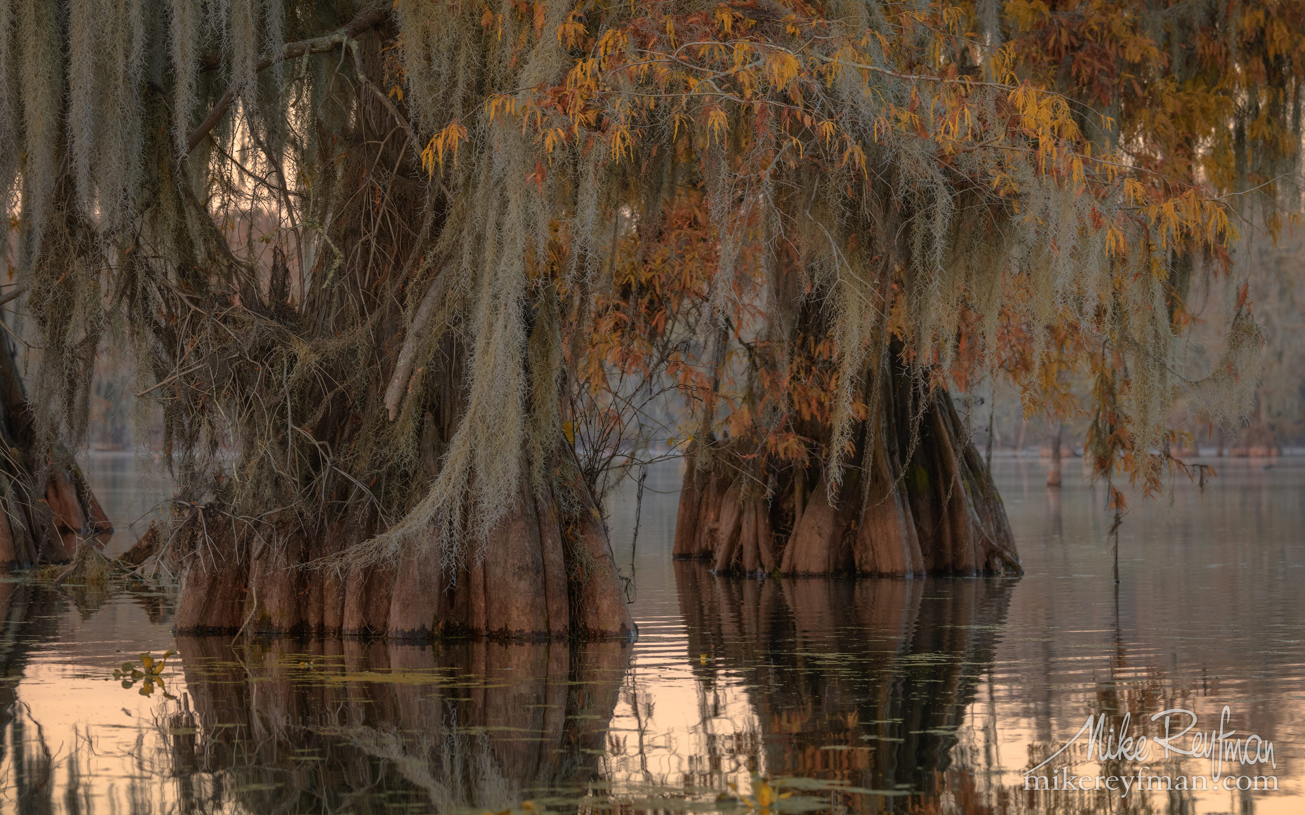 Spanish Moss on the Bald Cypress trees. Lake Fausse, Louisiana, US 026-LT1-50A4690.jpg - Bold Cypress and Tupelo Trees in the swamps of Atchafalaya River Basin. Caddo, Martin and Fousse Lakes. Texas/Louisiana, USA. - Mike Reyfman Photography