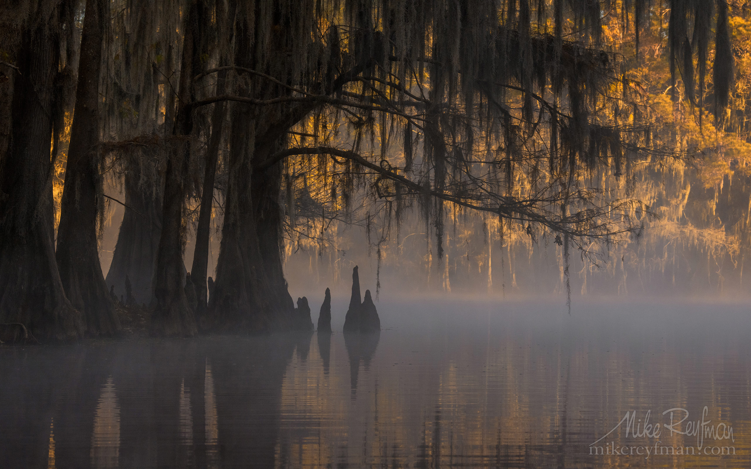 Bald Cypress trees in the swamp. Foggy morning on Caddo Lake, Texas, US 029-LT1-50A3431.jpg - Bold Cypress and Tupelo Trees in the swamps of Atchafalaya River Basin. Caddo, Martin and Fousse Lakes. Texas/Louisiana, USA. - Mike Reyfman Photography