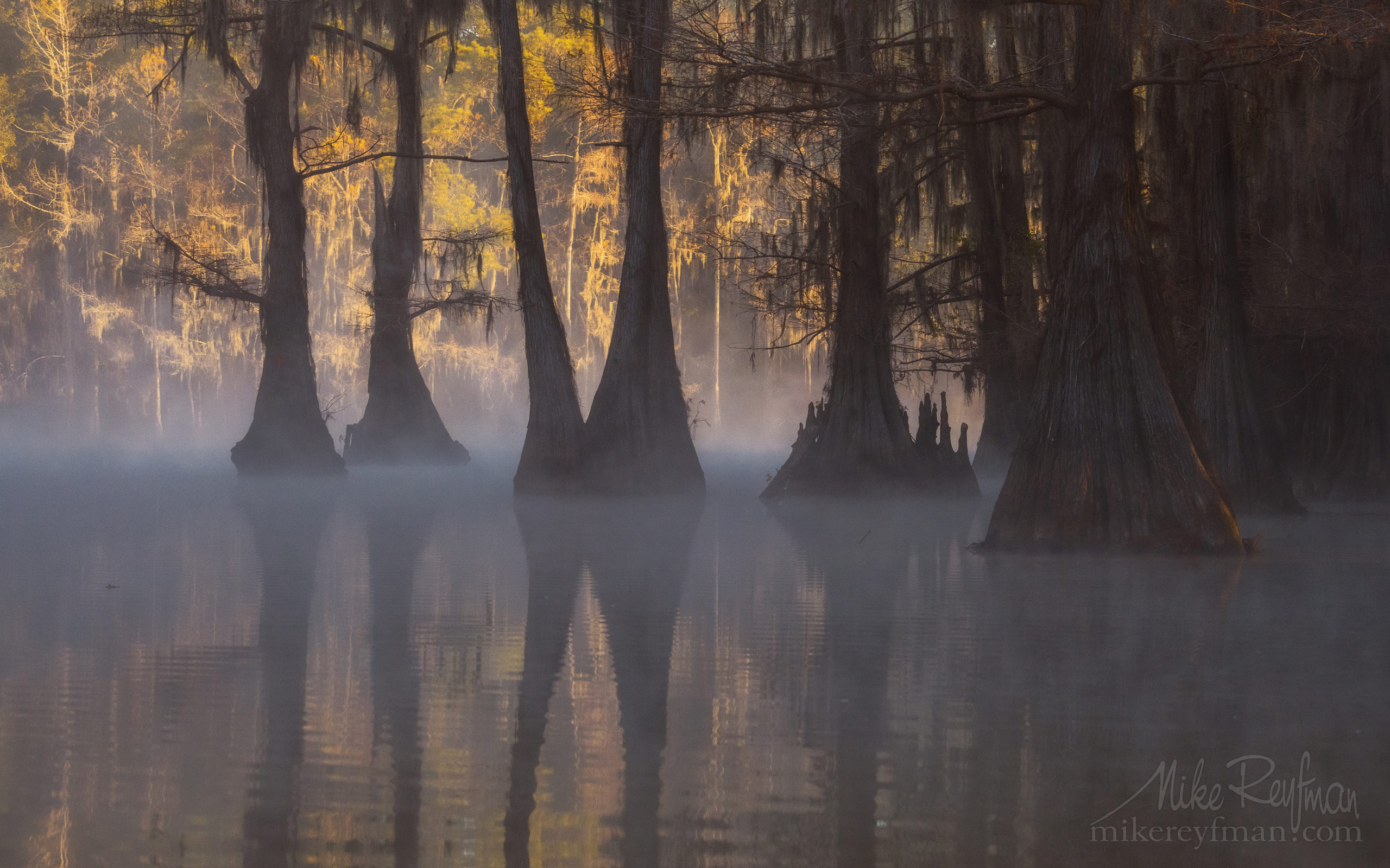 Bald Cypress trees in the swamp. Foggy morning on Caddo Lake, Texas, US 030-LT1-50A3351.jpg - Bold Cypress and Tupelo Trees in the swamps of Atchafalaya River Basin. Caddo, Martin and Fousse Lakes. Texas/Louisiana, USA. - Mike Reyfman Photography