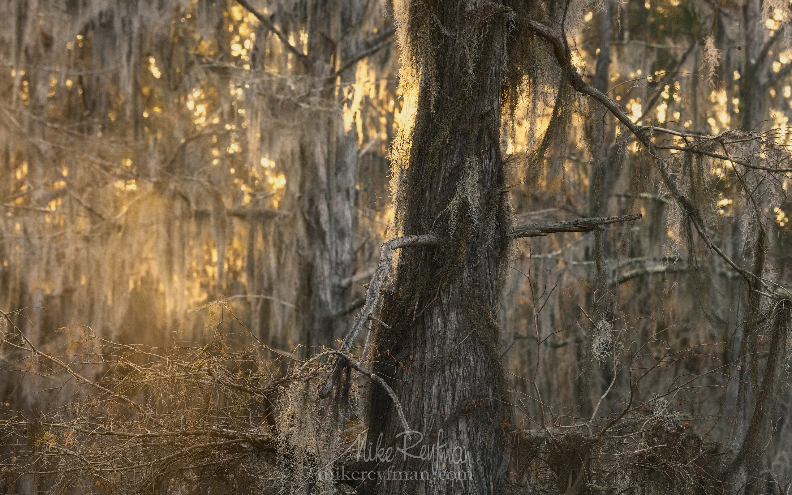 Bald Cypress trees and Spanish Moss. Caddo Lake, Texas, US 032-LT1-50A3337.jpg - Bold Cypress and Tupelo Trees in the swamps of Atchafalaya River Basin. Caddo, Martin and Fousse Lakes. Texas/Louisiana, USA. - Mike Reyfman Photography