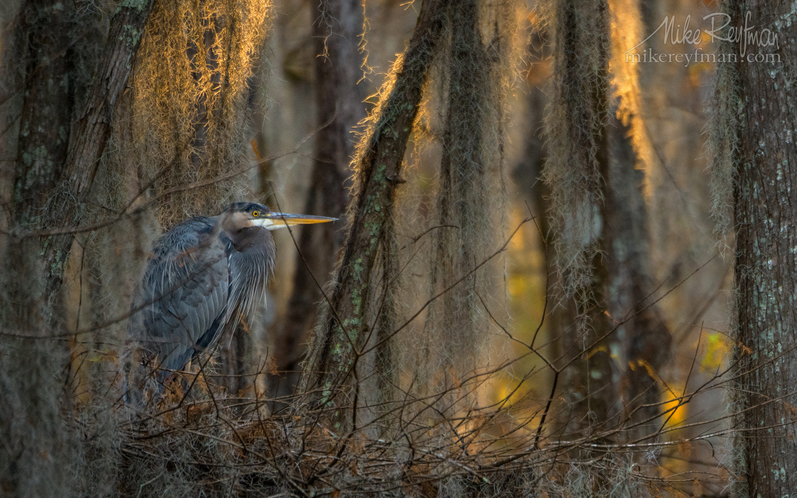 Great Blue Heron in the covered with Spanish Moss Bald Cypress Trees. Caddo Lake, Texas, US 033-LT1-50A3347.jpg - Bold Cypress and Tupelo Trees in the swamps of Atchafalaya River Basin. Caddo, Martin and Fousse Lakes. Texas/Louisiana, USA. - Mike Reyfman Photography
