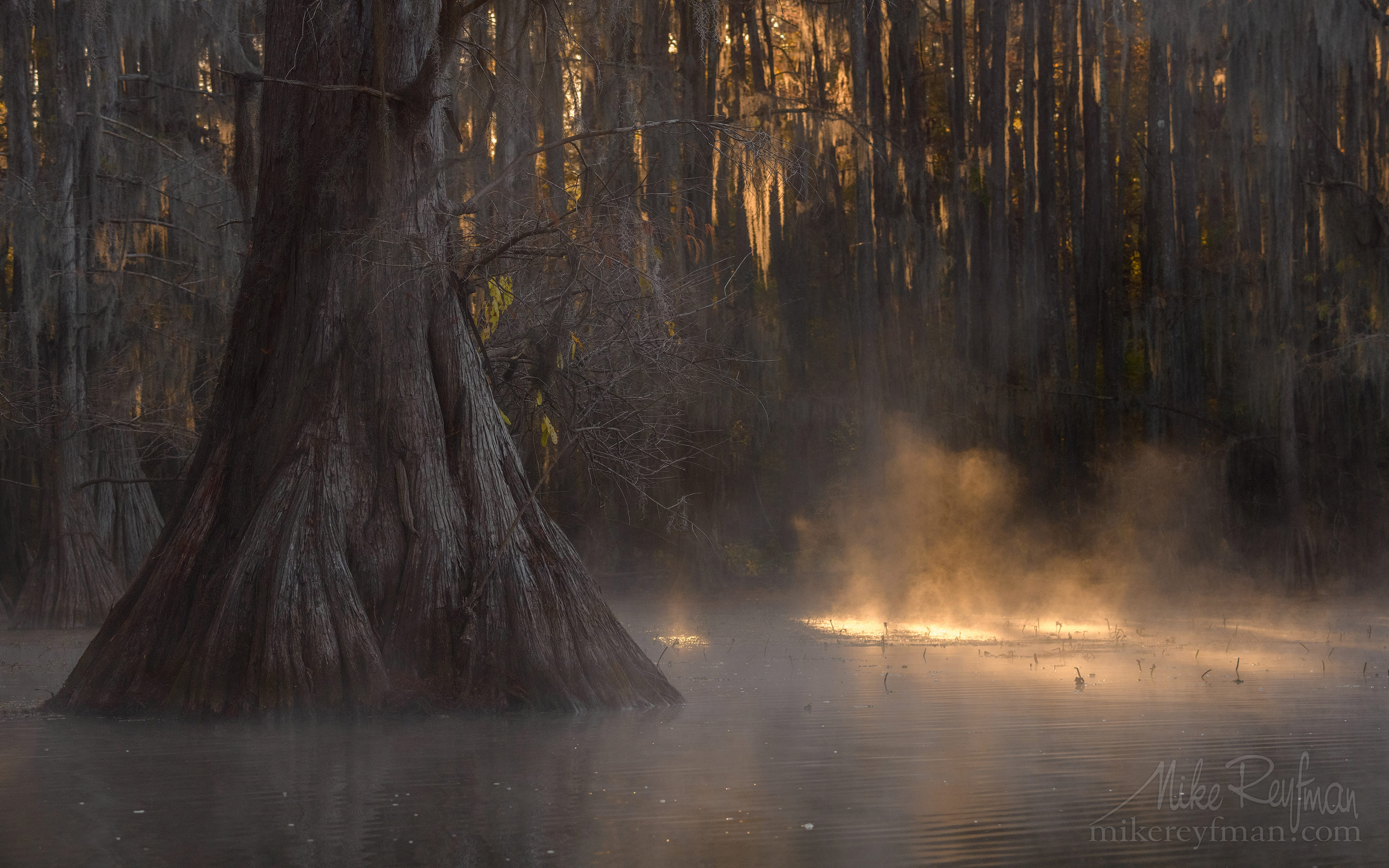 Bald Cypress trees in the swamp. Foggy morning on Caddo Lake, Texas, US 035-LT1-50A3368.jpg - Bold Cypress and Tupelo Trees in the swamps of Atchafalaya River Basin. Caddo, Martin and Fousse Lakes. Texas/Louisiana, USA. - Mike Reyfman Photography