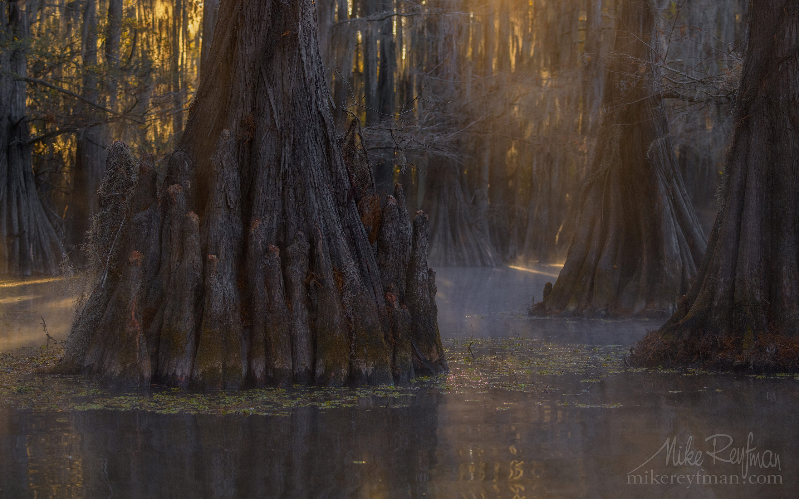 Bald Cypress trees in the swamp. Foggy morning on Caddo Lake, Texas, US 036-LT1-50A3419.jpg - Bold Cypress and Tupelo Trees in the swamps of Atchafalaya River Basin. Caddo, Martin and Fousse Lakes. Texas/Louisiana, USA. - Mike Reyfman Photography
