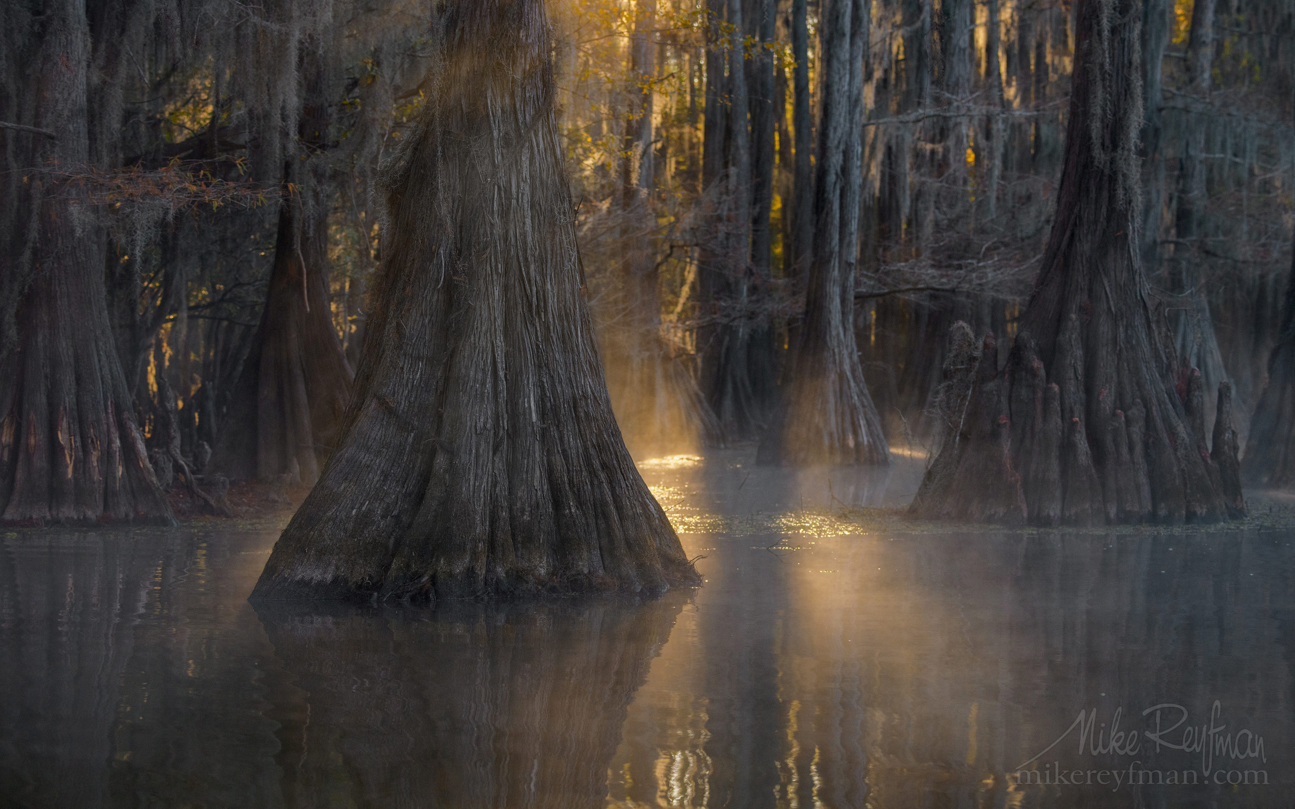 Bald Cypress trees in the swamp. Foggy morning on Caddo Lake, Texas, US 038-LT1-50A3452.jpg - Bold Cypress and Tupelo Trees in the swamps of Atchafalaya River Basin. Caddo, Martin and Fousse Lakes. Texas/Louisiana, USA. - Mike Reyfman Photography