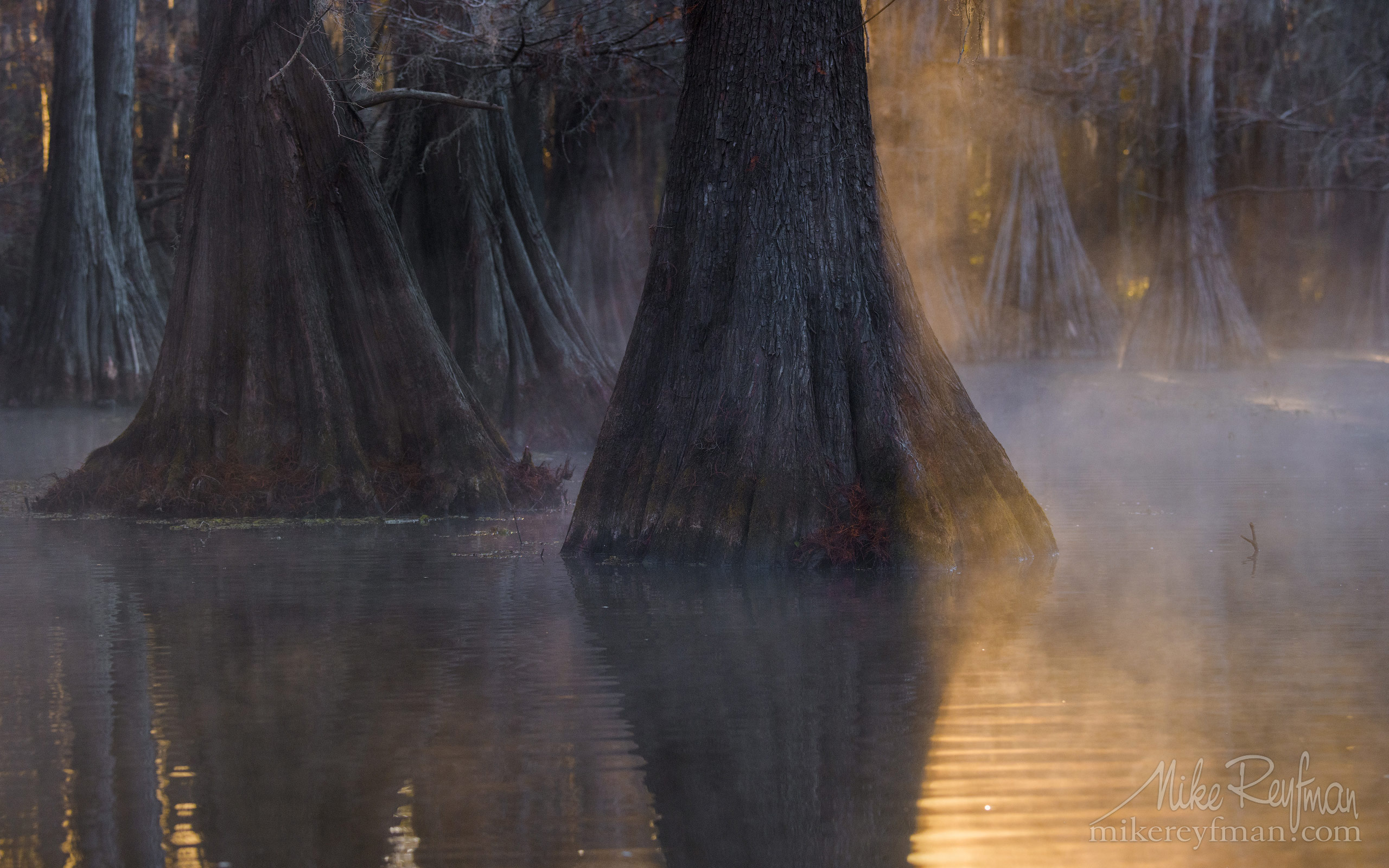 Bald Cypress trees in the swamp. Foggy morning on Caddo Lake, Texas, US 039-LT1-50A3404.jpg - Bold Cypress and Tupelo Trees in the swamps of Atchafalaya River Basin. Caddo, Martin and Fousse Lakes. Texas/Louisiana, USA. - Mike Reyfman Photography
