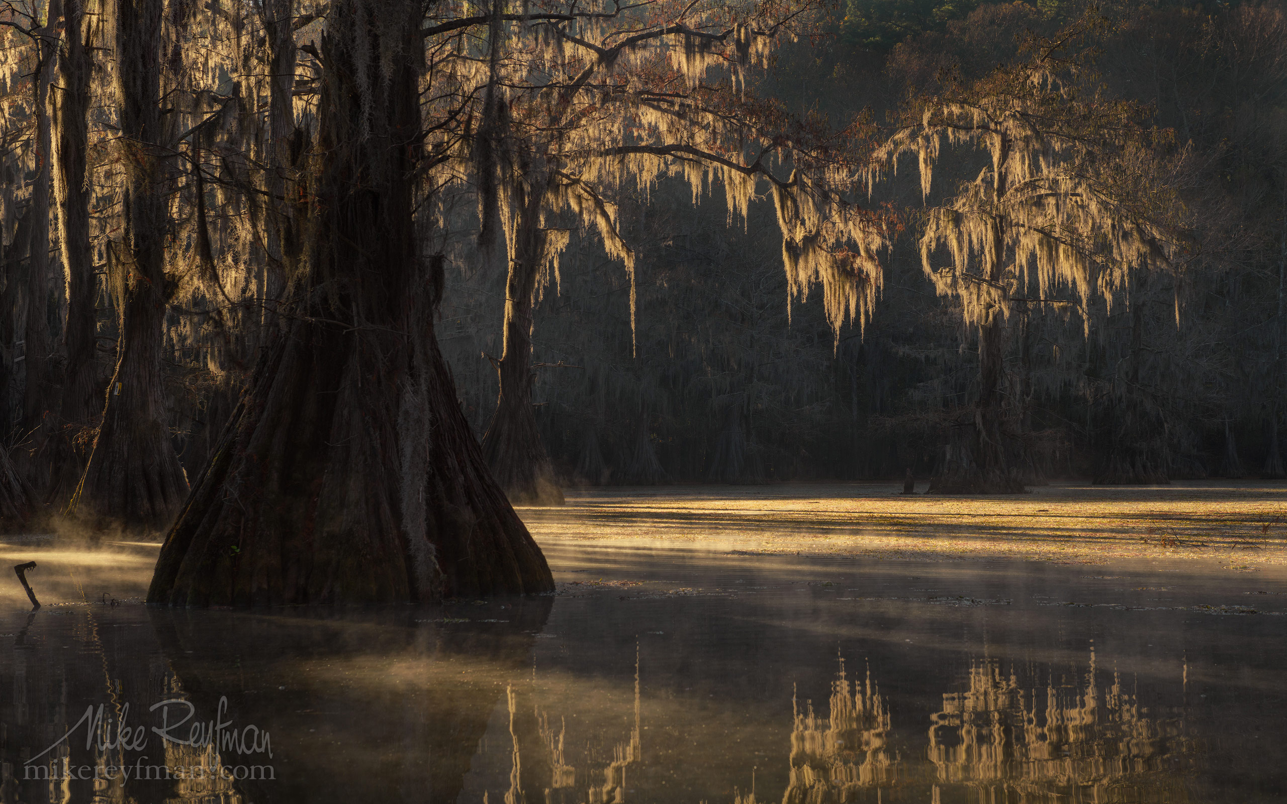 Bald Cypress trees in the swamp. Foggy morning on Caddo Lake, Texas, US 042-LT1-50A3641.jpg - Bold Cypress and Tupelo Trees in the swamps of Atchafalaya River Basin. Caddo, Martin and Fousse Lakes. Texas/Louisiana, USA. - Mike Reyfman Photography