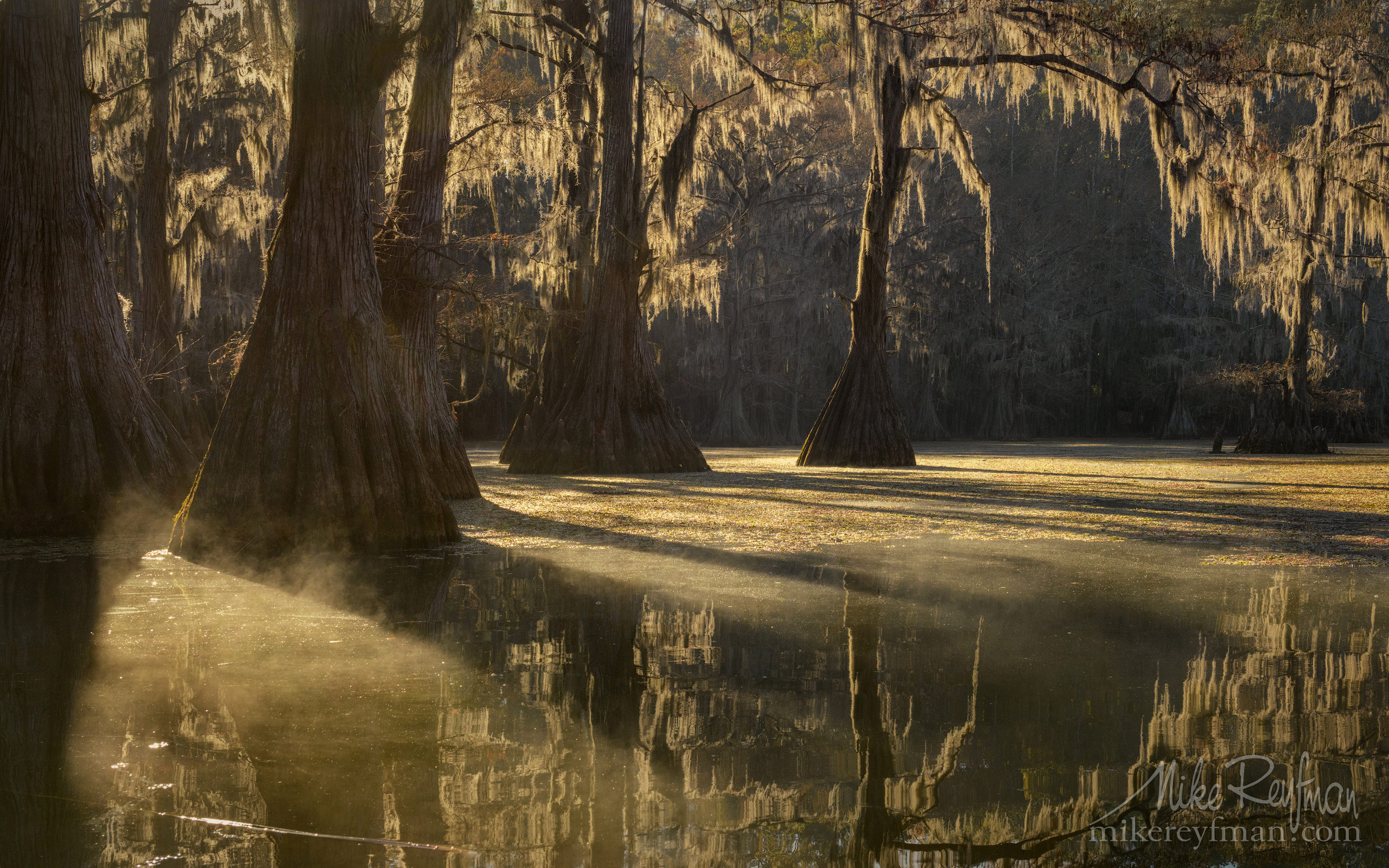 Bald Cypress trees in the swamp. Foggy morning on Caddo Lake, Texas, US 044-LT1-50A3671.jpg - Bold Cypress and Tupelo Trees in the swamps of Atchafalaya River Basin. Caddo, Martin and Fousse Lakes. Texas/Louisiana, USA. - Mike Reyfman Photography