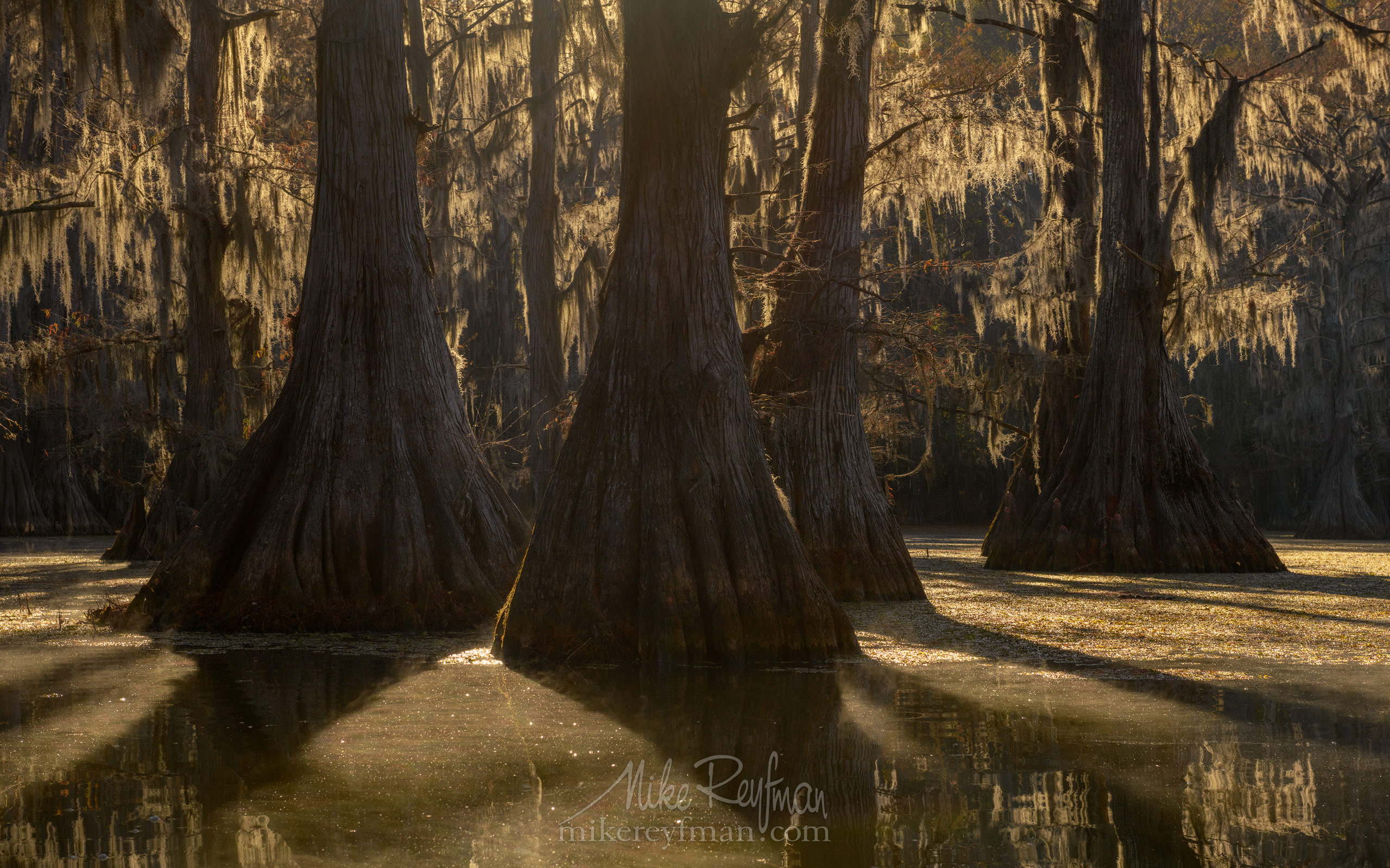 Bald Cypress trees in the swamp. Foggy morning on Caddo Lake, Texas, US 045-LT1-50A3680.jpg - Bold Cypress and Tupelo Trees in the swamps of Atchafalaya River Basin. Caddo, Martin and Fousse Lakes. Texas/Louisiana, USA. - Mike Reyfman Photography