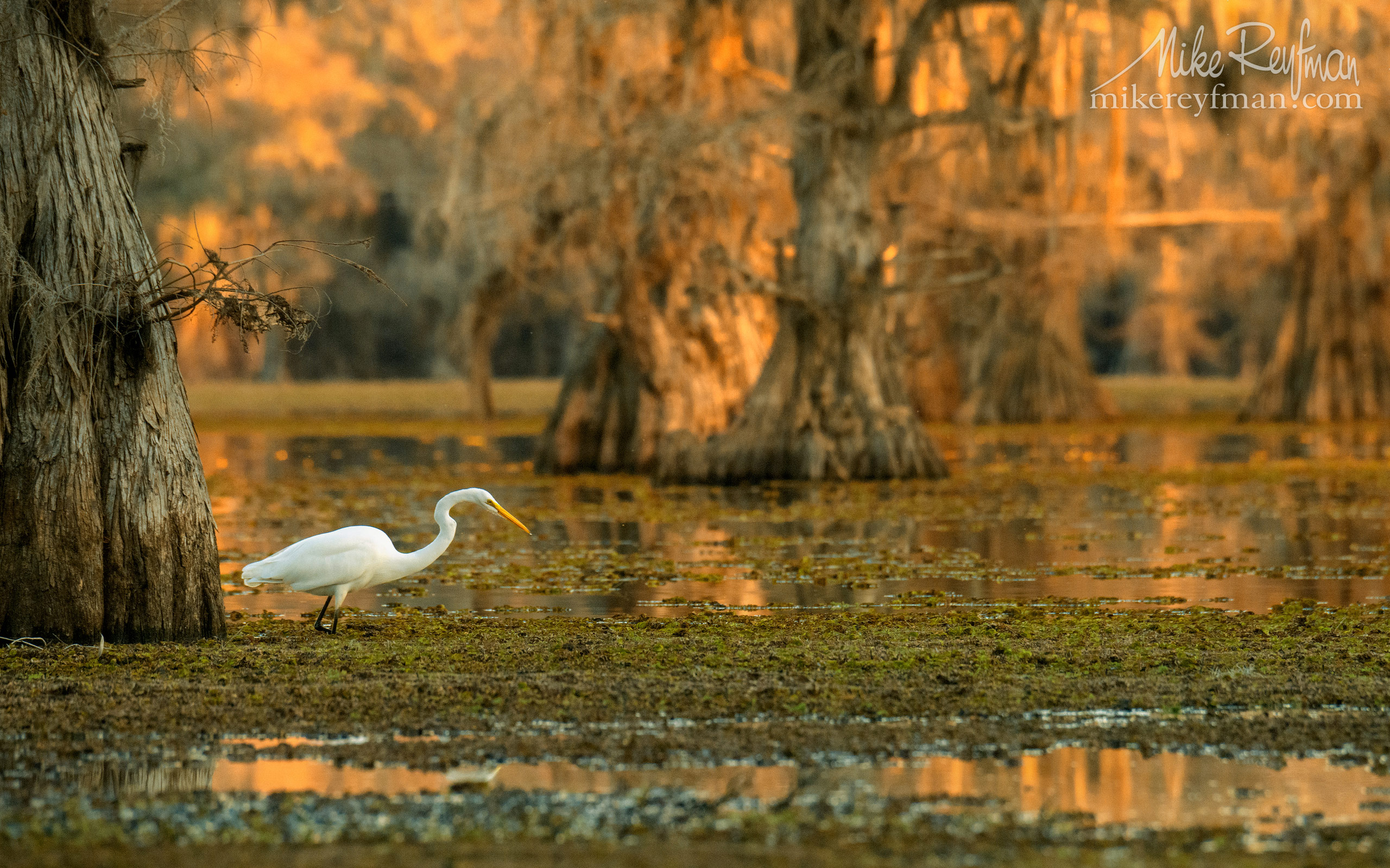 Great Egret. Government Ditch, Lake Caddo, Texas, US 052-LT1-50A3842.jpg - Bold Cypress and Tupelo Trees in the swamps of Atchafalaya River Basin. Caddo, Martin and Fousse Lakes. Texas/Louisiana, USA. - Mike Reyfman Photography