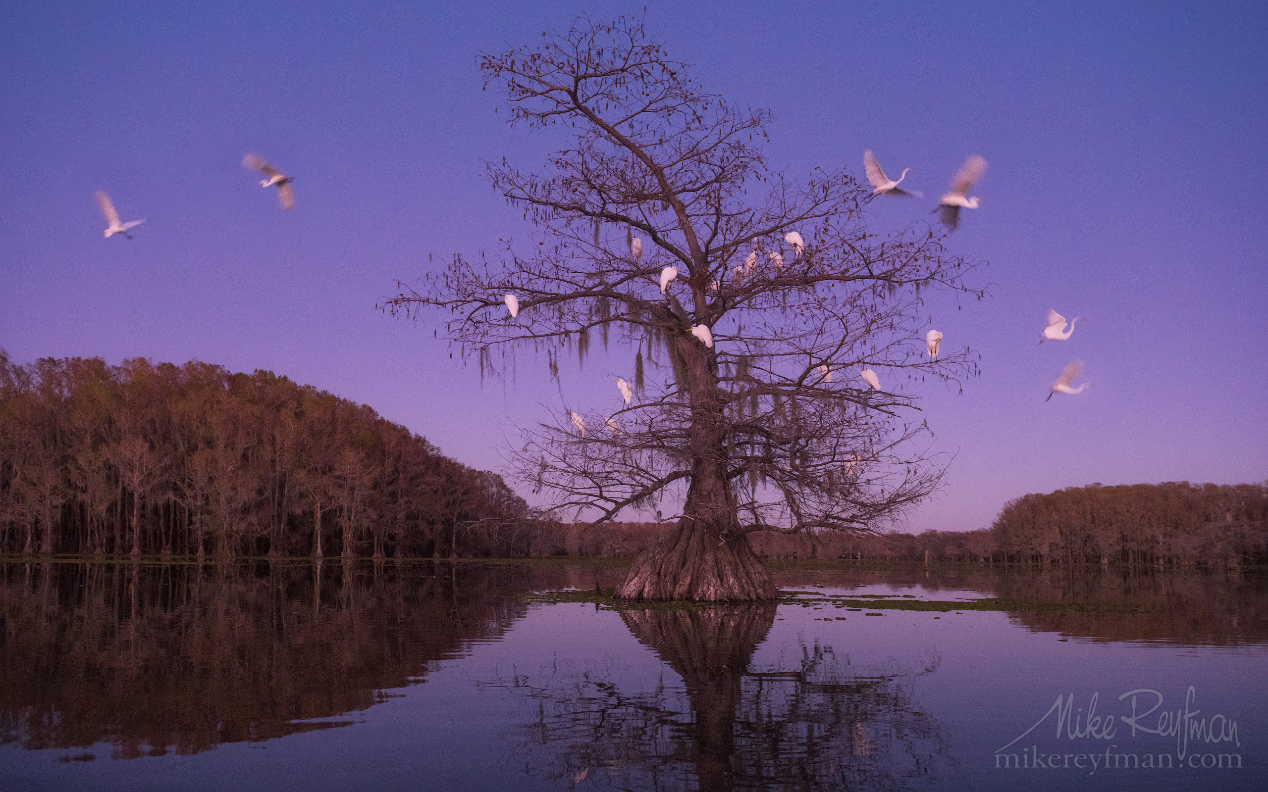 Great Egrets on Bald Cypress tree after sunset. Caddo Lake, Texas, US 057-LT1-50A3925.jpg - Bold Cypress and Tupelo Trees in the swamps of Atchafalaya River Basin. Caddo, Martin and Fousse Lakes. Texas/Louisiana, USA. - Mike Reyfman Photography