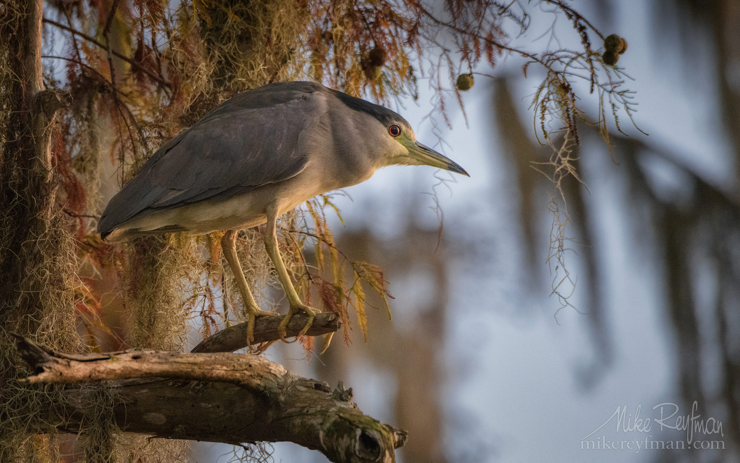 Black-Crowned Night Heron in the Bald Cypress tree. Lake Martin, Louisiana, US 059-LT1-50A4601.jpg - Bold Cypress and Tupelo Trees in the swamps of Atchafalaya River Basin. Caddo, Martin and Fousse Lakes. Texas/Louisiana, USA. - Mike Reyfman Photography