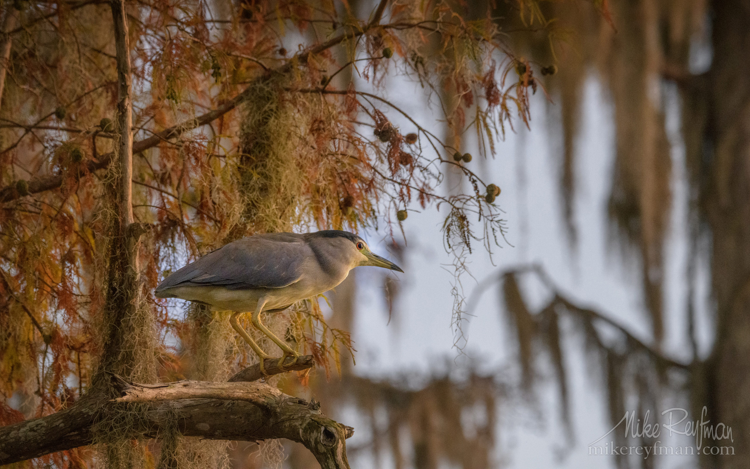 Black-Crowned Night Heron in the Bald Cypress tree. Lake Martin, Louisiana, US 060-LT1-50A4603.jpg - Bold Cypress and Tupelo Trees in the swamps of Atchafalaya River Basin. Caddo, Martin and Fousse Lakes. Texas/Louisiana, USA. - Mike Reyfman Photography