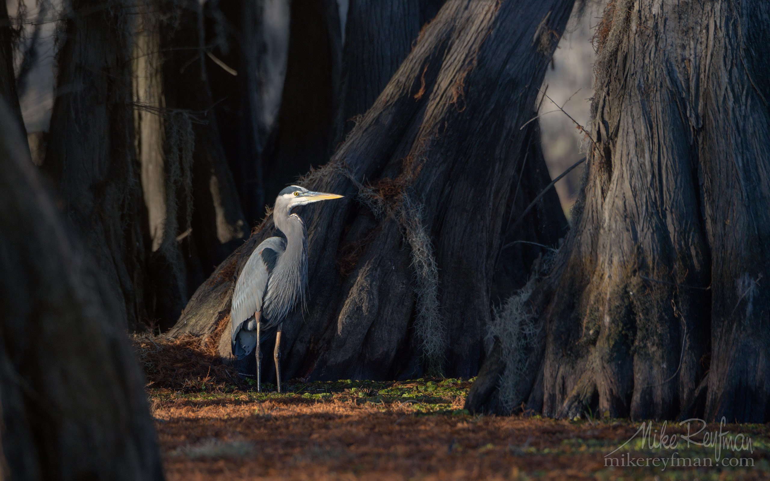 Great Blue Heron with the buttressed trunks of Bald Cypress trees on the background. Caddo Lake, Texas, US 062-LT1-50A4036.jpg - Bold Cypress and Tupelo Trees in the swamps of Atchafalaya River Basin. Caddo, Martin and Fousse Lakes. Texas/Louisiana, USA. - Mike Reyfman Photography