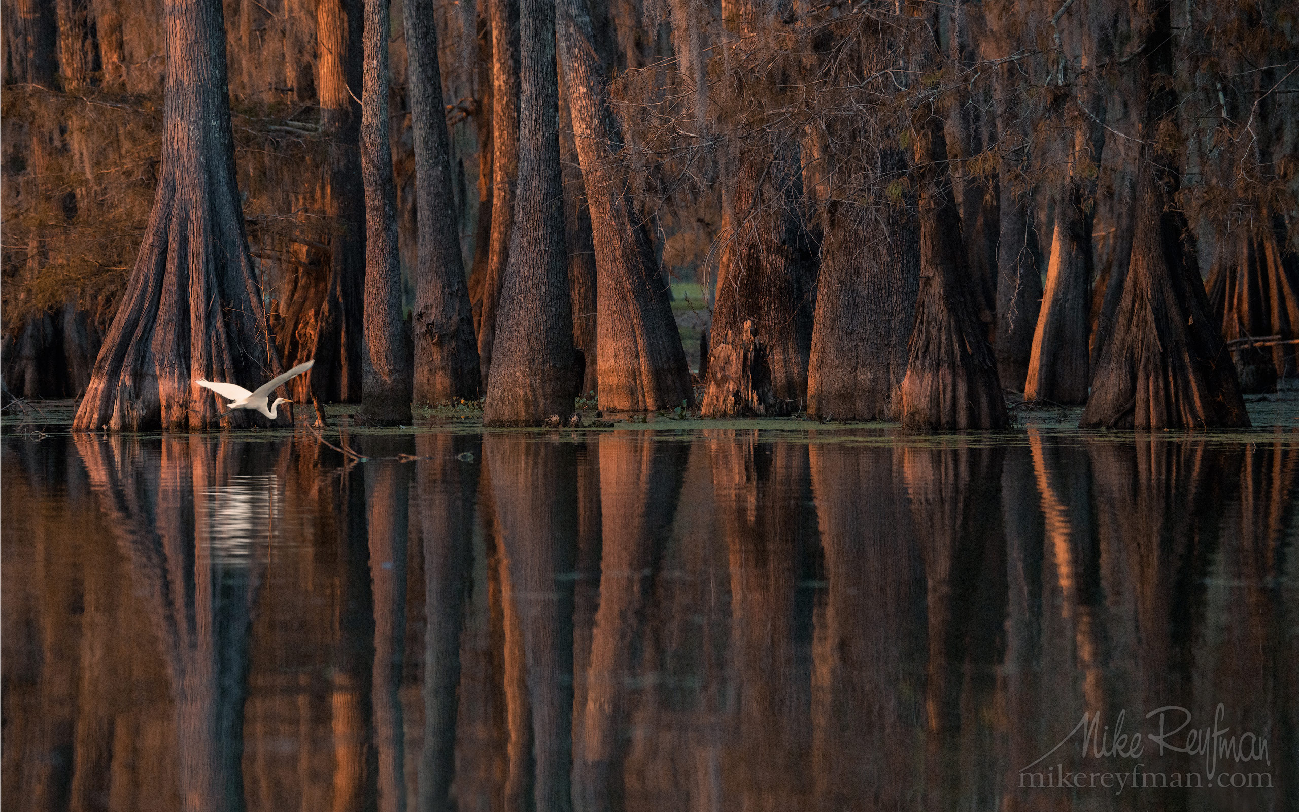 Great Egret with the buttressed trunks of Bald Cypress and Tupelo trees in the background. Lake Martin, Louisiana, US 064-LT1-50A2170.jpg - Bold Cypress and Tupelo Trees in the swamps of Atchafalaya River Basin. Caddo, Martin and Fousse Lakes. Texas/Louisiana, USA. - Mike Reyfman Photography