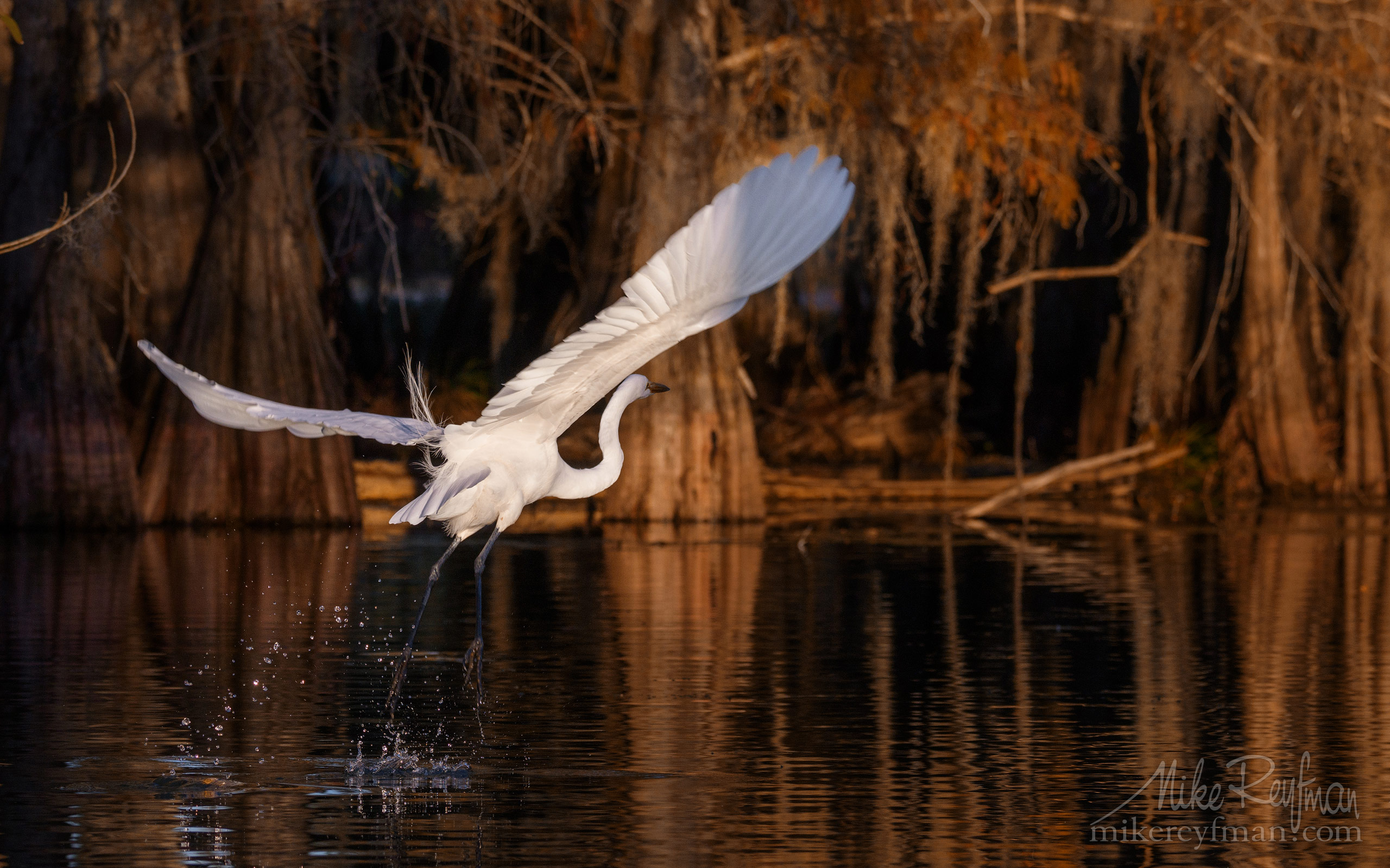 Great Egret with the buttressed trunks of Bald Cypress and Tupelo trees in the background. Lake Martin, Louisiana, US 066-LT1-50A4056.jpg - Bold Cypress and Tupelo Trees in the swamps of Atchafalaya River Basin. Caddo, Martin and Fousse Lakes. Texas/Louisiana, USA. - Mike Reyfman Photography