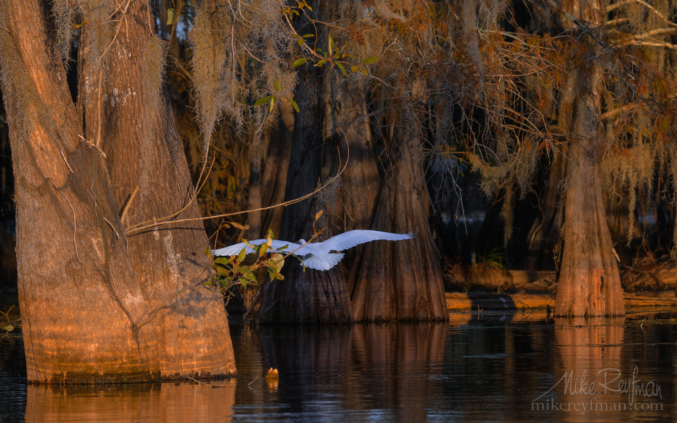 Great Egret with the buttressed trunks of Bald Cypress and Tupelo trees in the background. Lake Martin, Louisiana, US 067-LT1-50A4073.jpg - Bold Cypress and Tupelo Trees in the swamps of Atchafalaya River Basin. Caddo, Martin and Fousse Lakes. Texas/Louisiana, USA. - Mike Reyfman Photography